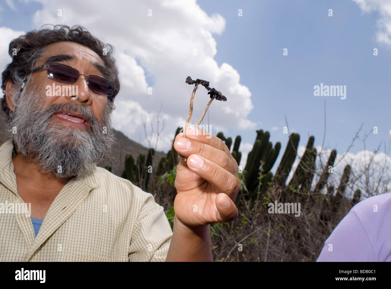 Traditional healer Laurencio López Nuñez holds up a psychotropic mushroom that grows in the area. - Stock Image