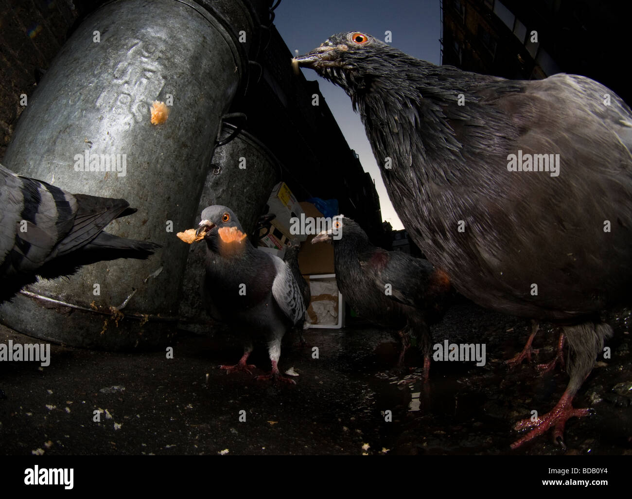Pigeons feeding on scraps in a London backstreet, London - Stock Image