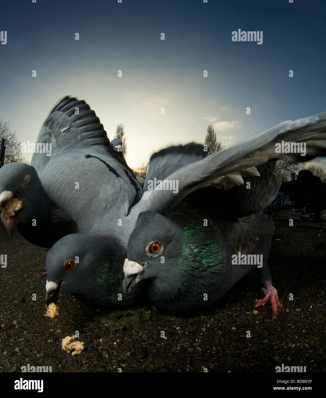 Pigeons lunging for food, London - Stock Image