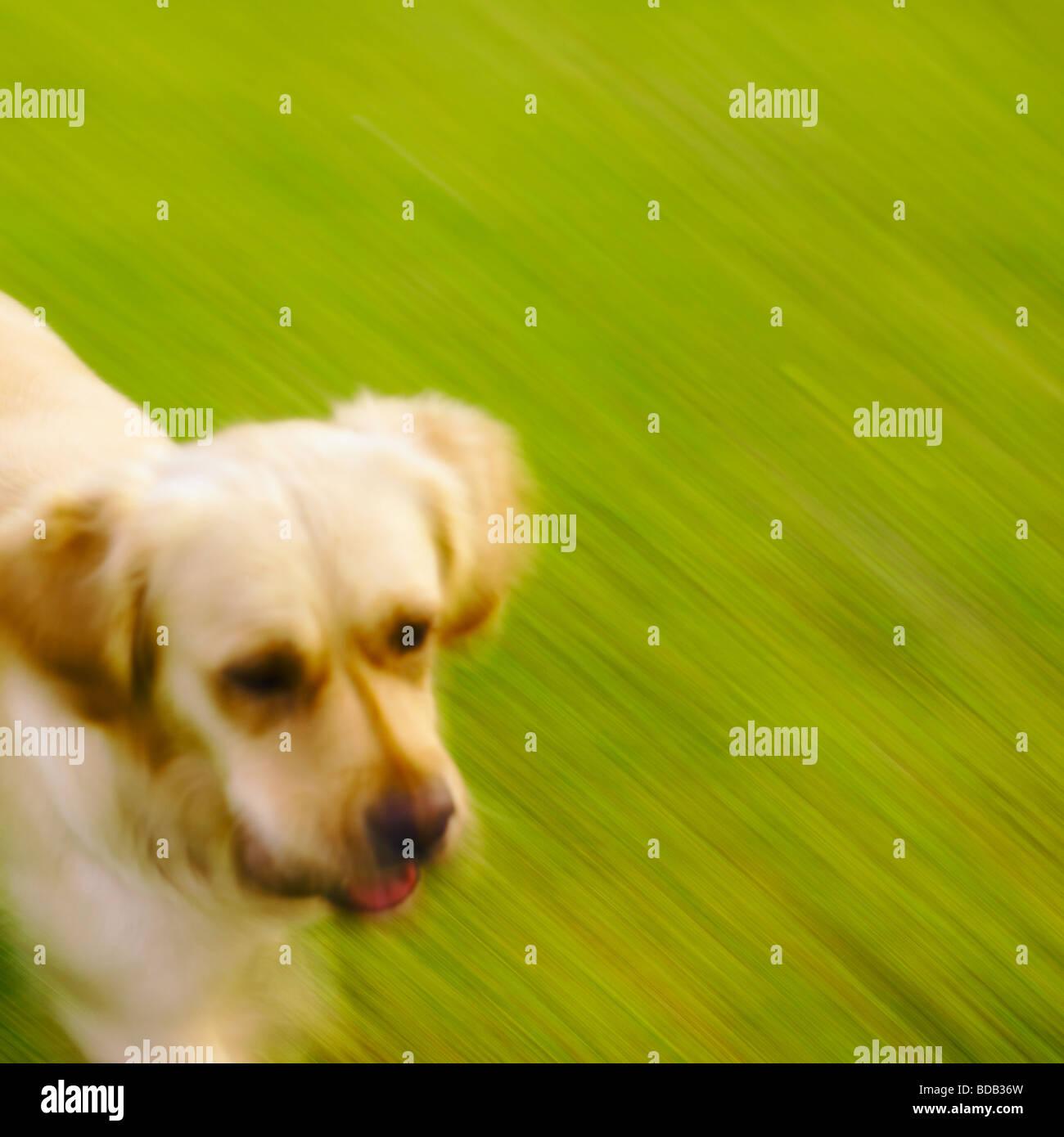 Golden Retriever Blurred Running On Grass. - Stock Image