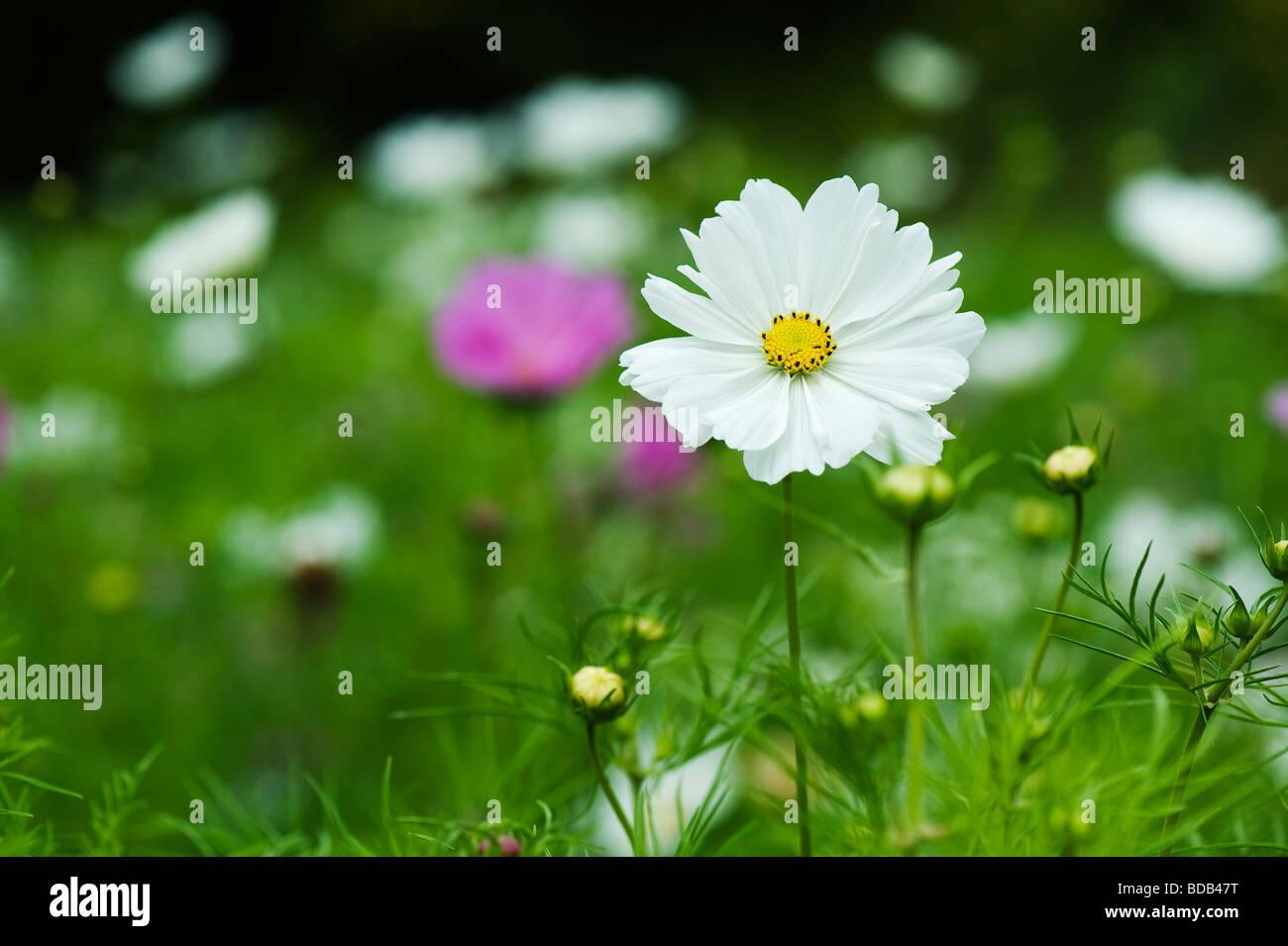 Cosmos bipinnatus 'sea shells' flower - Stock Image