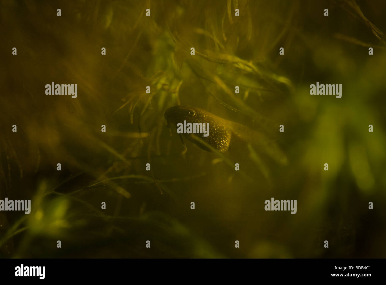 Tadpole of the Common Frog, Rana temporaria, lurking in pond weed. - Stock Image