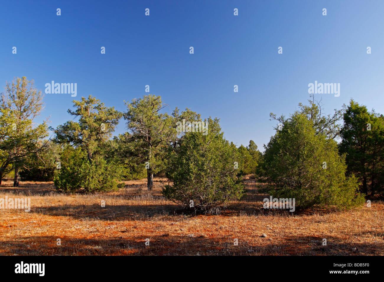 Forest of Spanish juniper Juniperus thurifera Ossa de Montiel Castilla la Mancha Spain - Stock Image