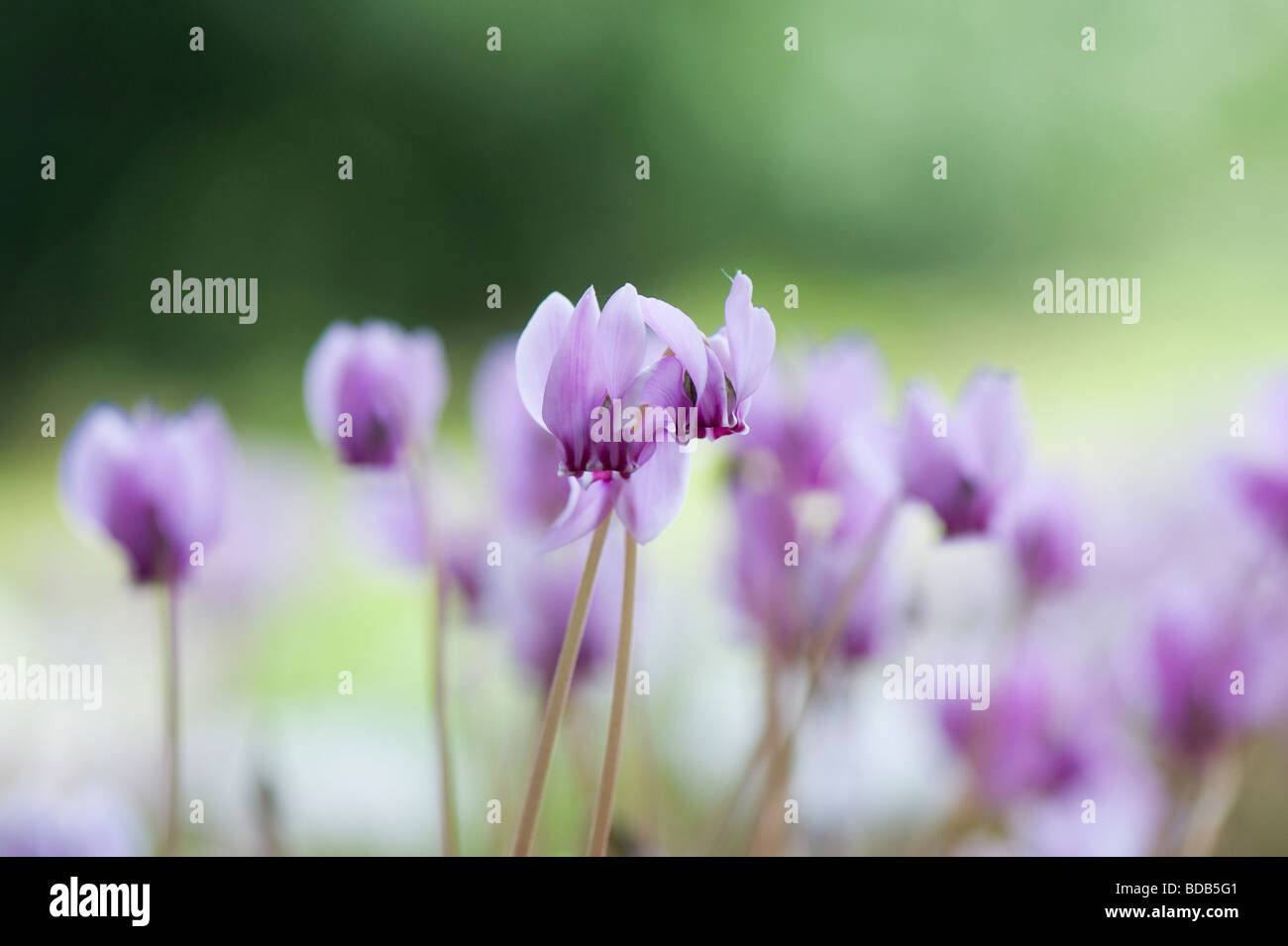 Cyclamen hederifolium flowering in autumn. Ivy-leaved cyclamen - Stock Image
