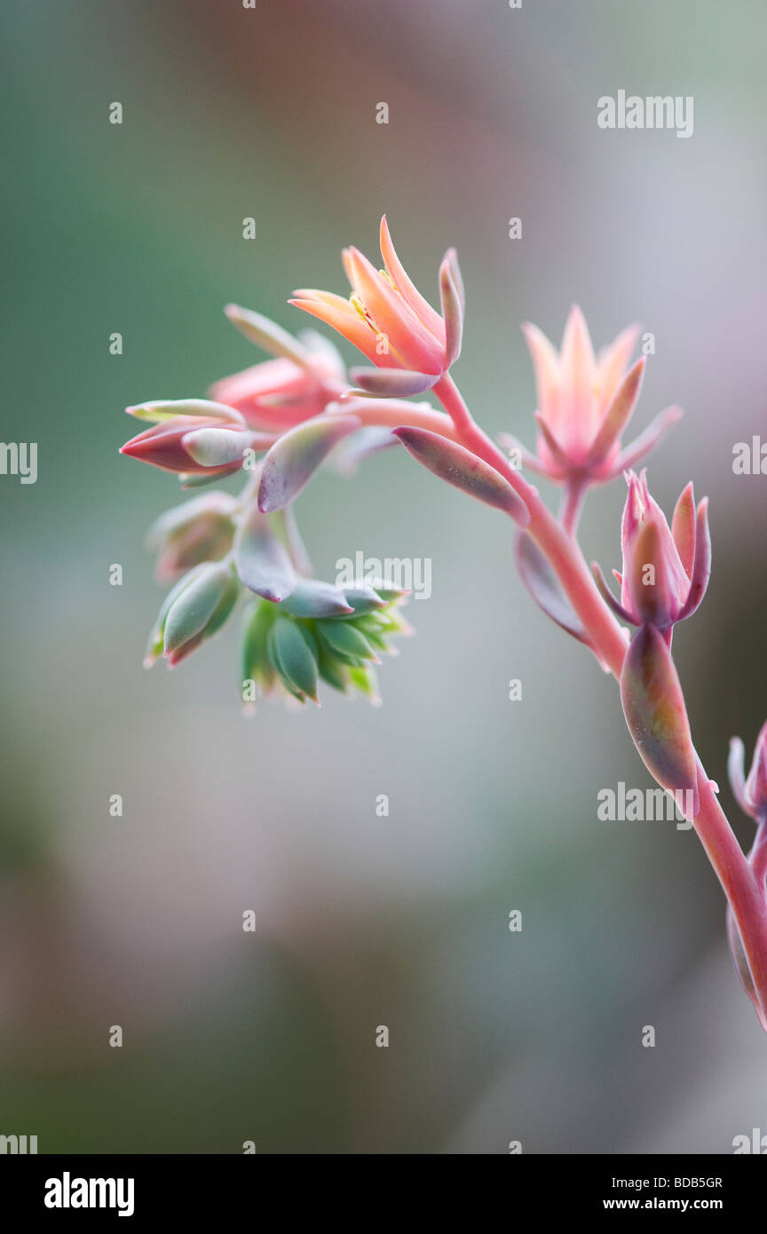Echeveria 'curly locks' flower - Stock Image