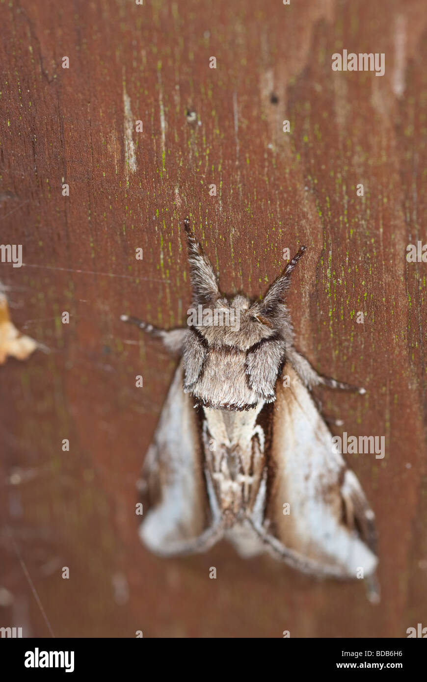 Swallow prominent moth - Stock Image