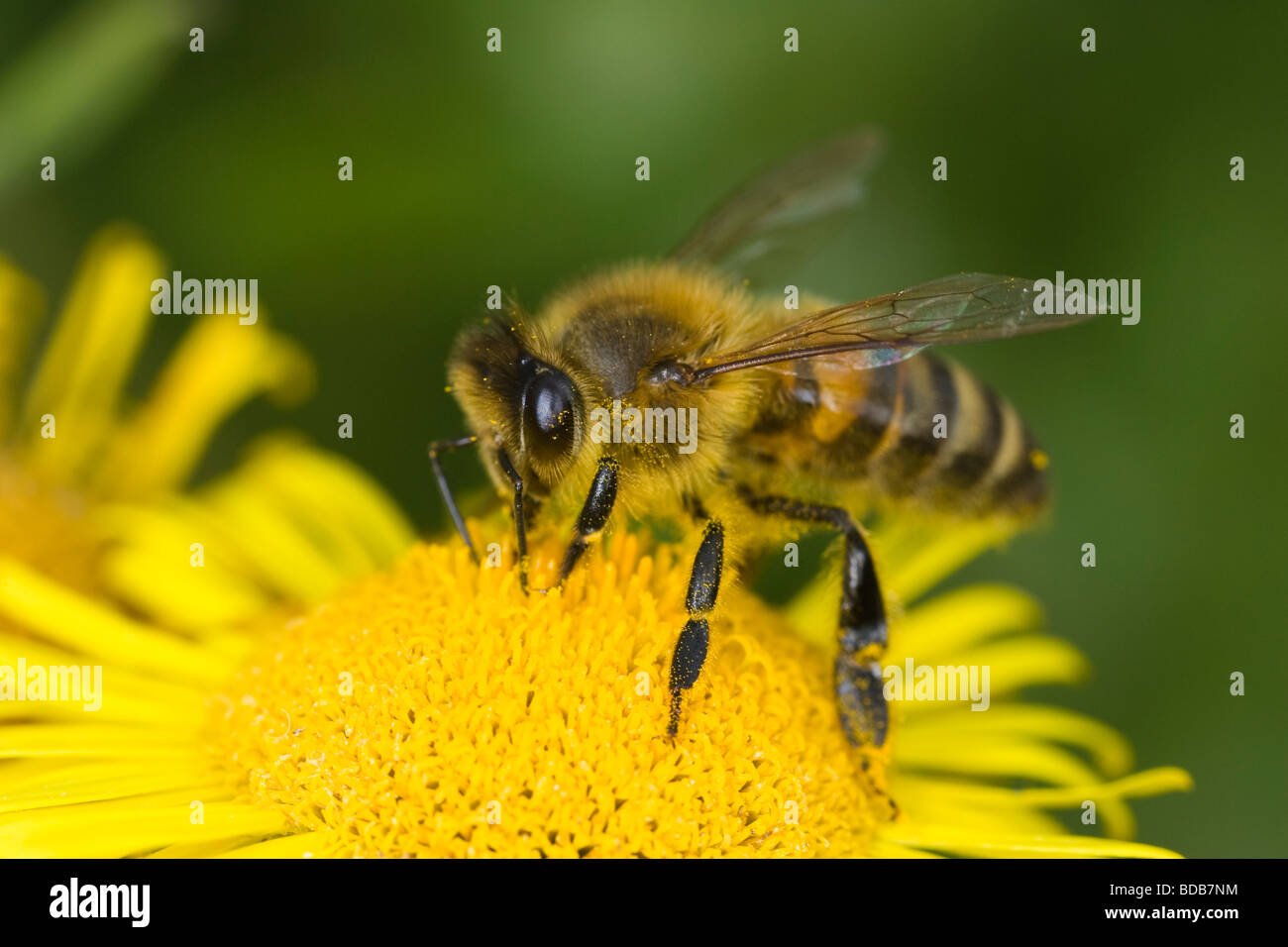 Honeybee (Apis mellifera) collecting nectar from a Ragwort flower - Stock Image