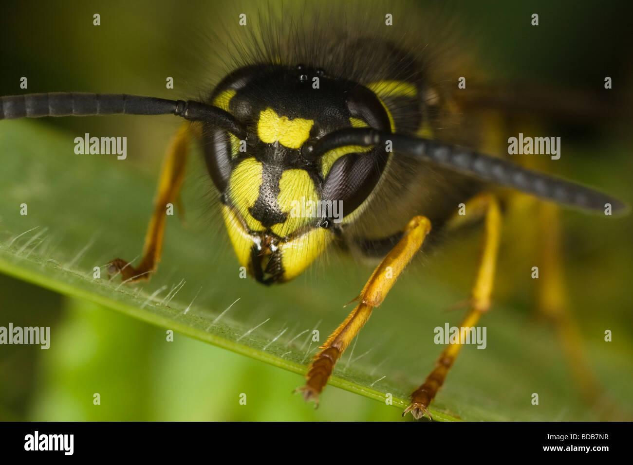 macro close-up of a Common Wasp (Vespula vulgaris) head - Stock Image