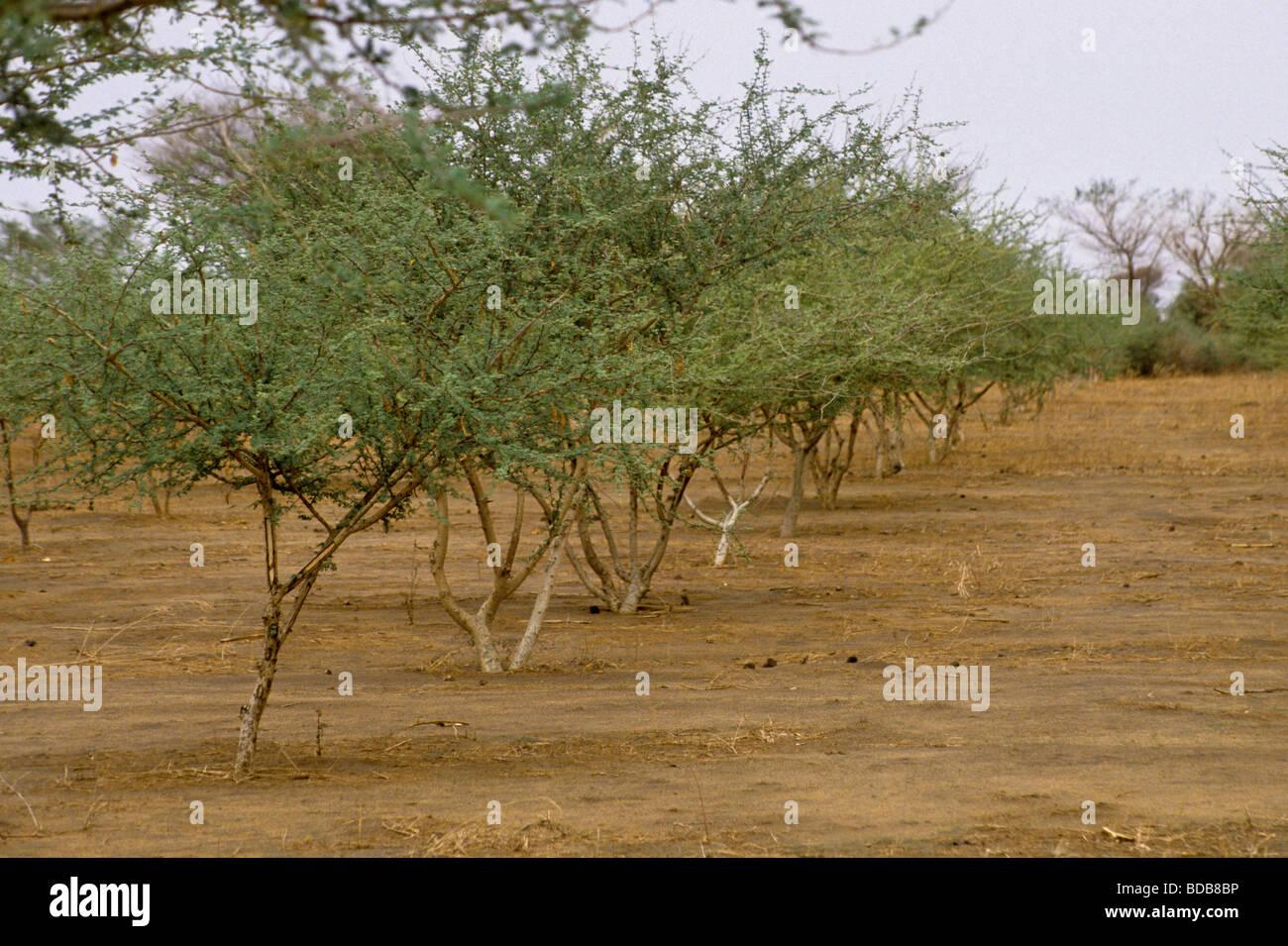 Gum Arabic Row Of Acacia Senegal Trees In A Gum Arabic Plantation