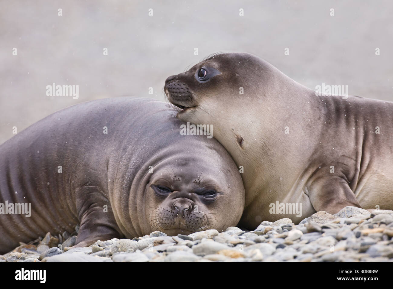 Southern elephant seal Mirounga leonina pups Fortuna Bay South Georgia Antarctica - Stock Image