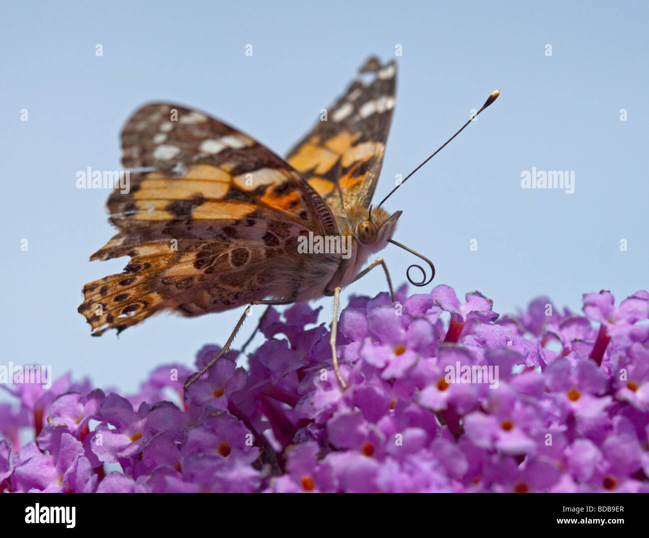 Painted Lady Butterfly (cynthia cardui) on Buddleia - Stock Image