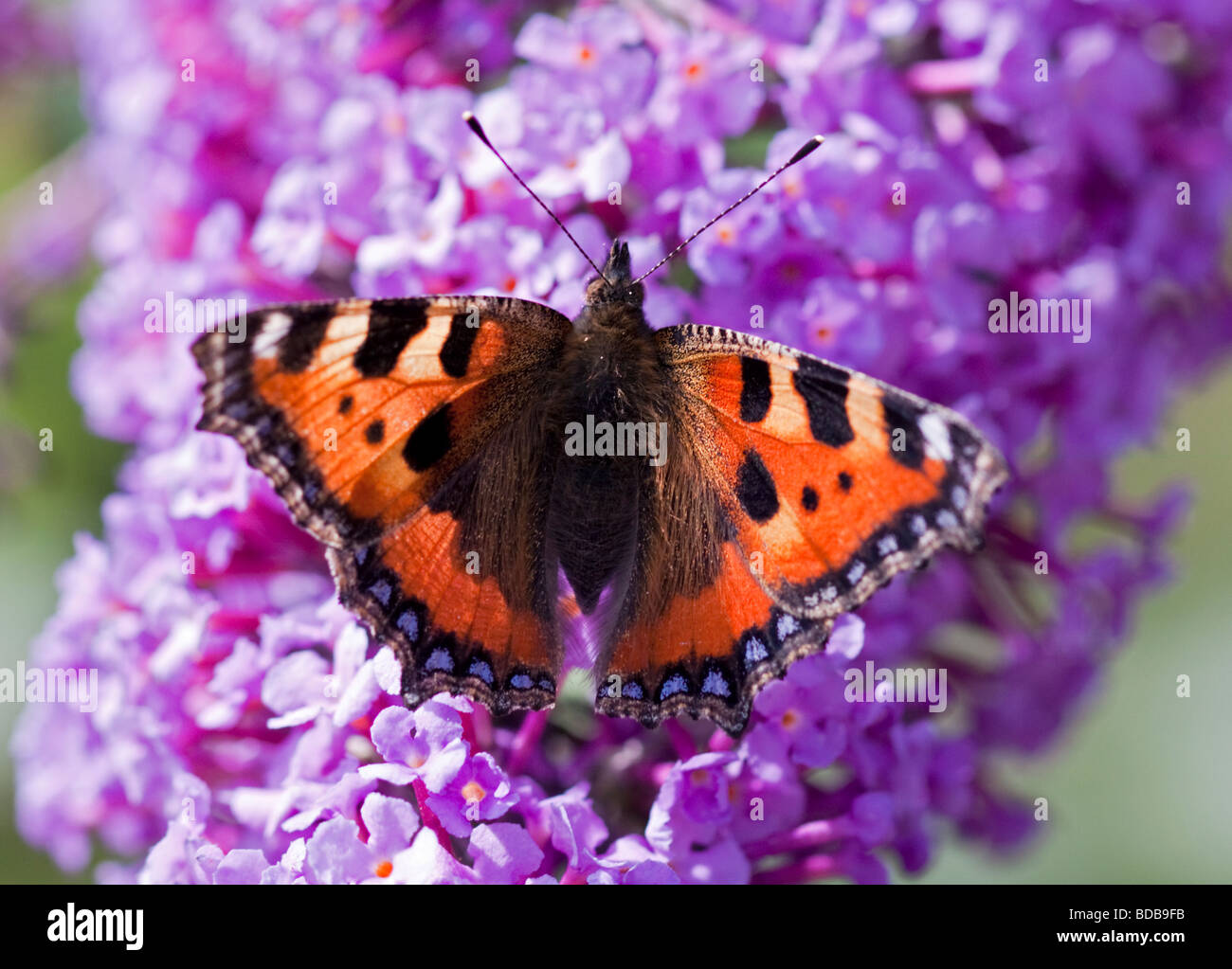 Small Tortoiseshell Butterfly (aglais urticae) on Buddleia - Stock Image