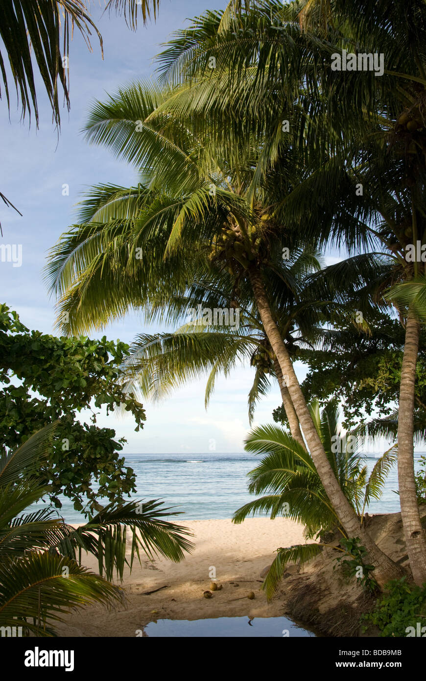 Coconut tree on beach, Manase, Savai'i Island, Western Samoa - Stock Image