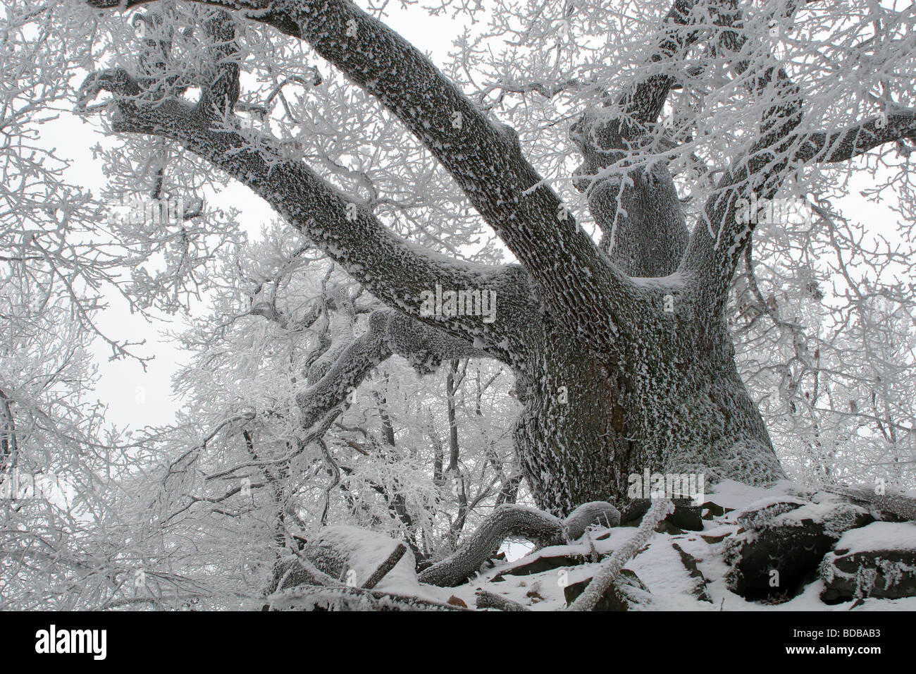 old oak in icing - Stock Image
