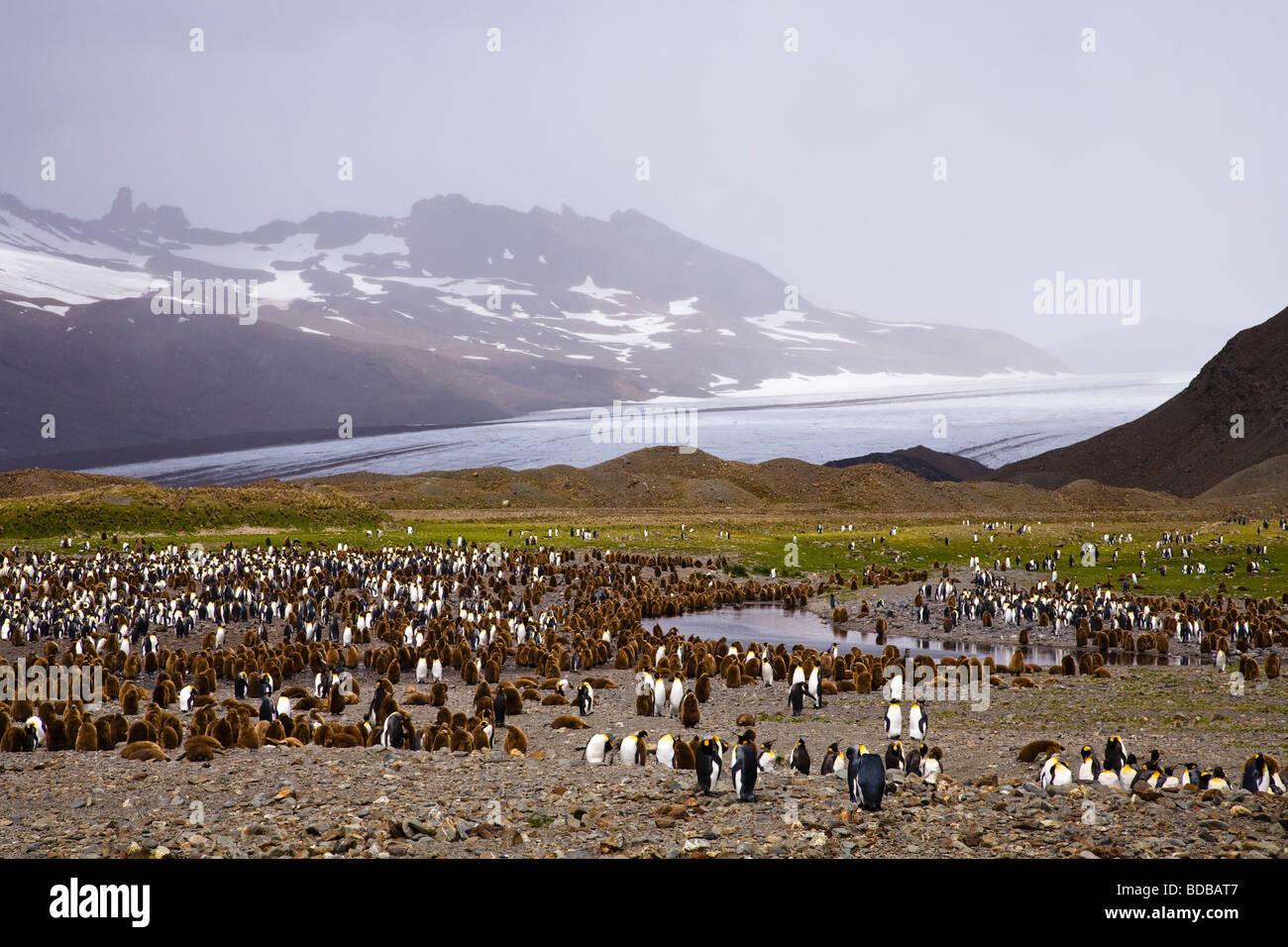 King Penguin Aptenodytes patagonicus colony with mountains and glaciers Fortuna Bay South Georgia Antarctica - Stock Image