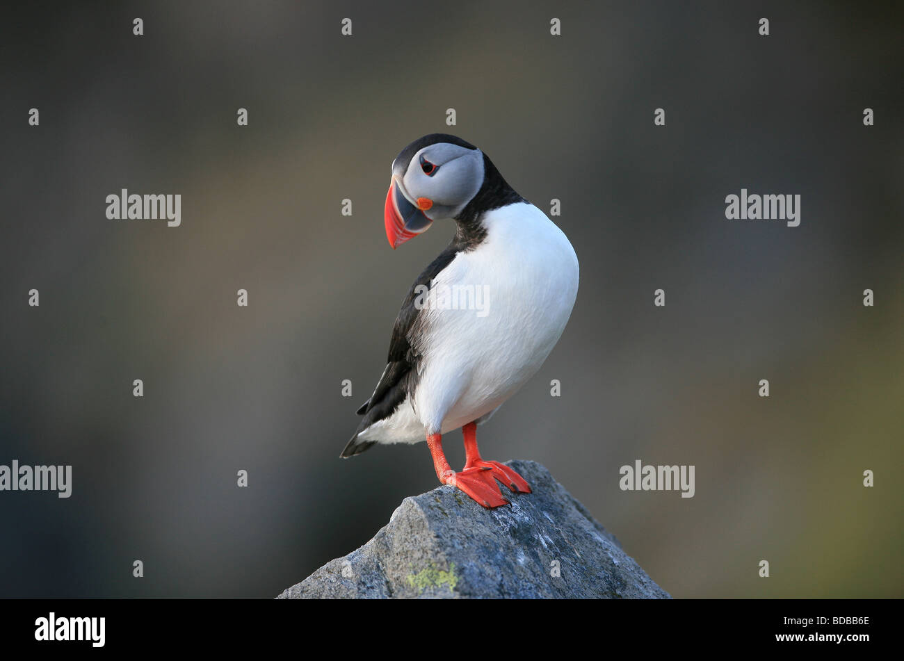 Atlantic Puffin, Fratercula arctica, at the island Runde on the Atlantic west coast, Møre og Romsdal, Norway. Stock Photo