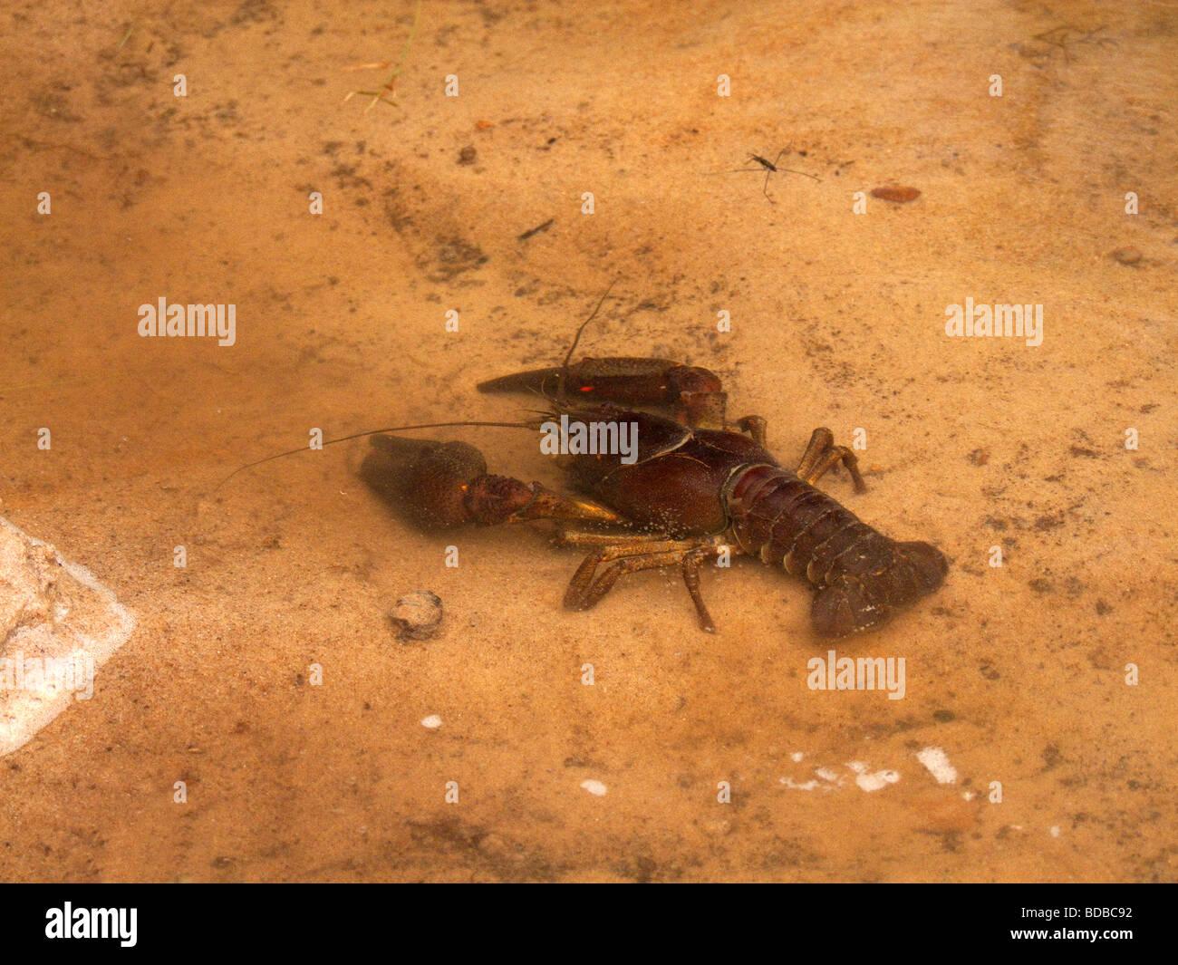 European crayfish - Astacus astacus - Stock Image