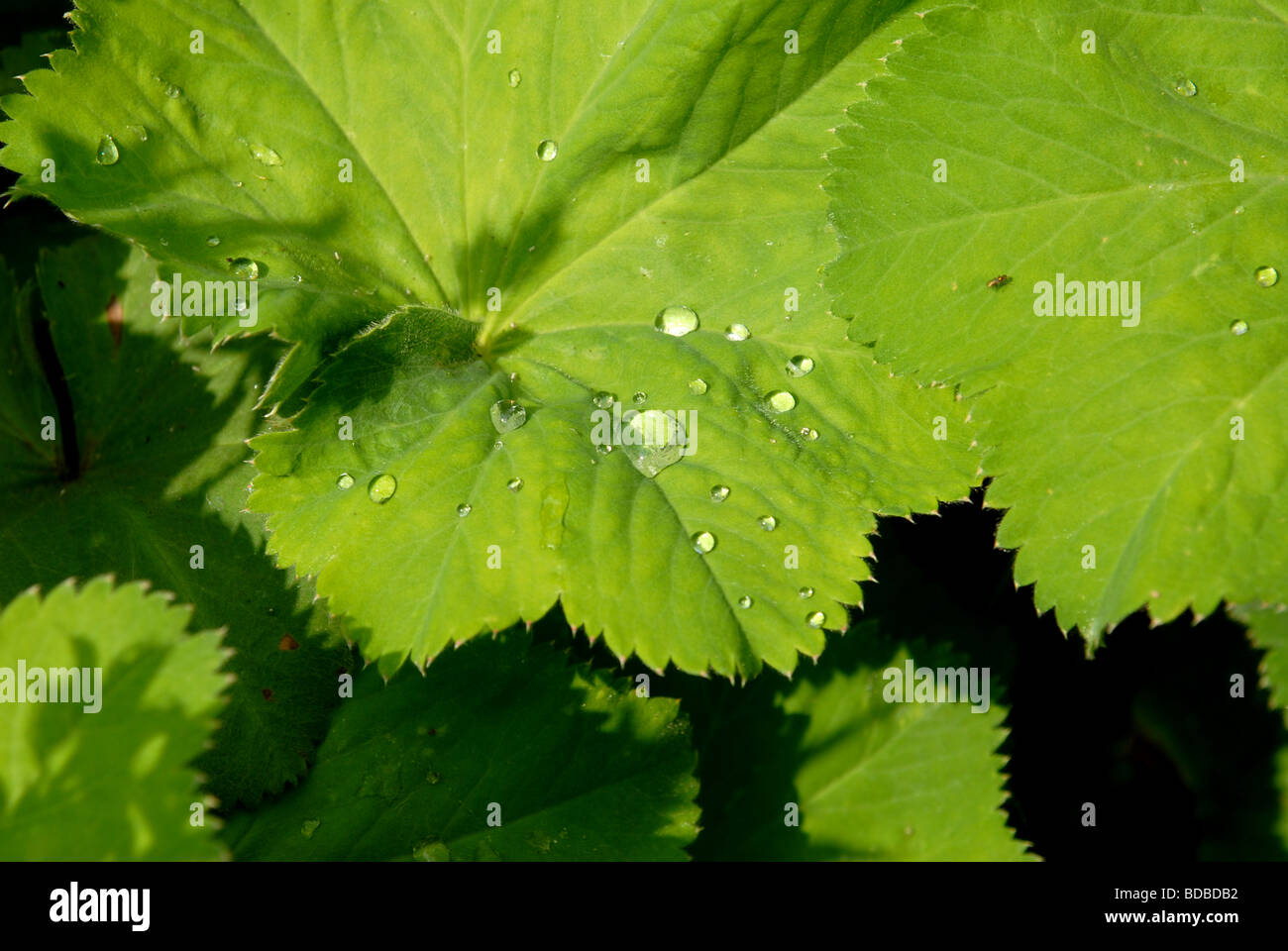 raindrops on some leaves of a garden Ladys Mantle or Alchemilla Mollis - Stock Image
