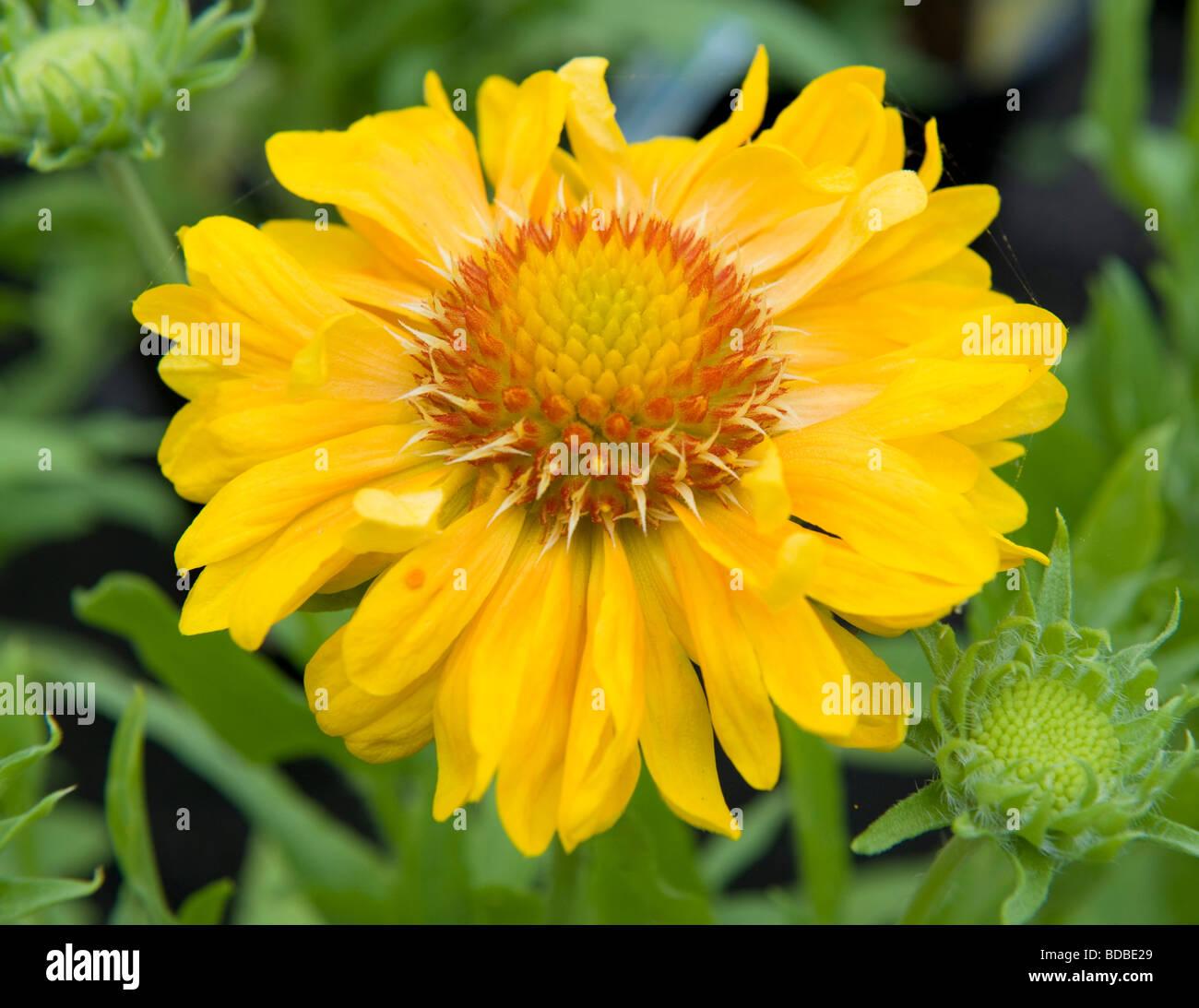 Gaillardia Sunburst Orange A Full Single Bloom Yellow Flower With