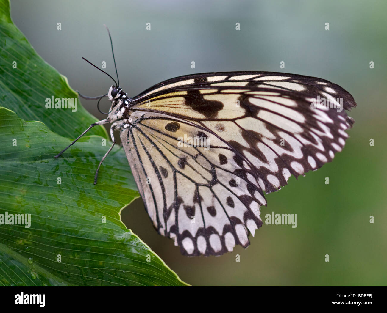 White Tree Nymph Butterfly (idea leuconoe) - Stock Image