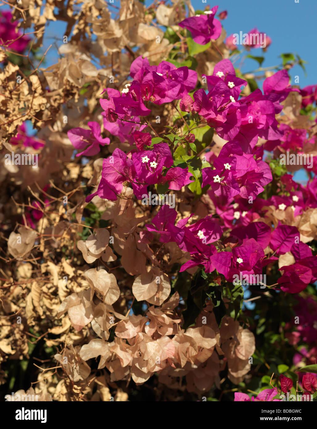 Blossom and faded Bougainville Bouganvilia pictured in Conil de la Frontera Andalusia Spain August 14 2009. - Stock Image