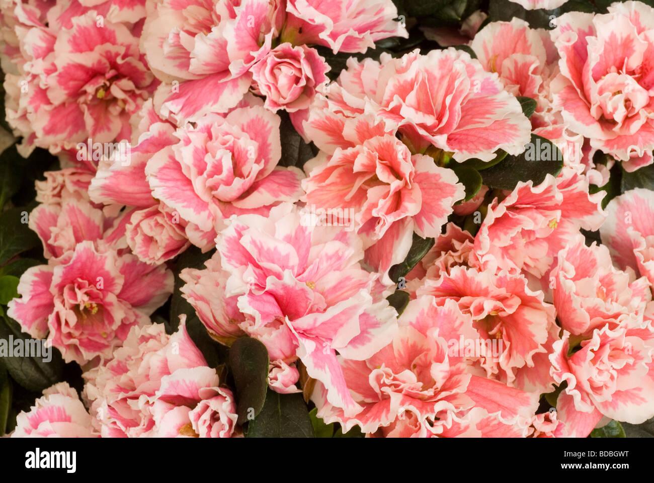 Rhododendron indicum, azalea indica, Ericaceae - Stock Image