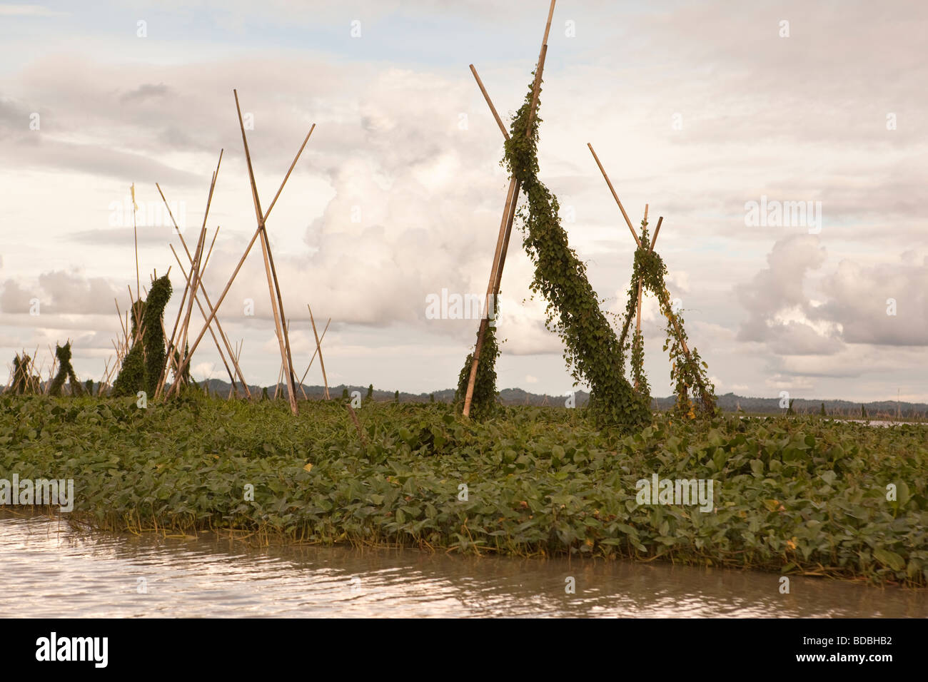Indonesia Sulawesi Sengkang Danaue Tempe Lake fishing industry mats of water hyacinth anchored to form habitat for - Stock Image