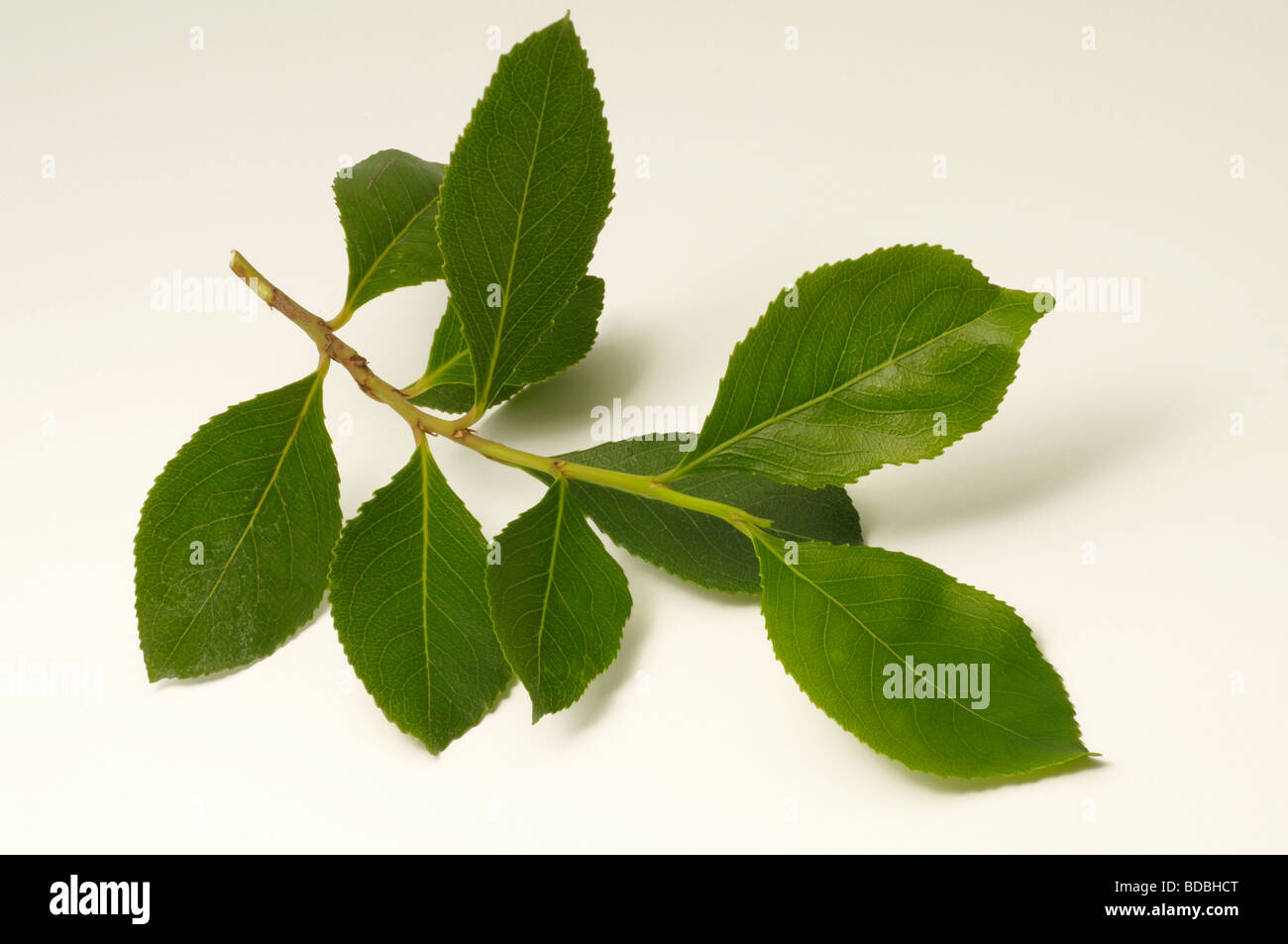 Khat (Catha edulis), twig, studio picture - Stock Image
