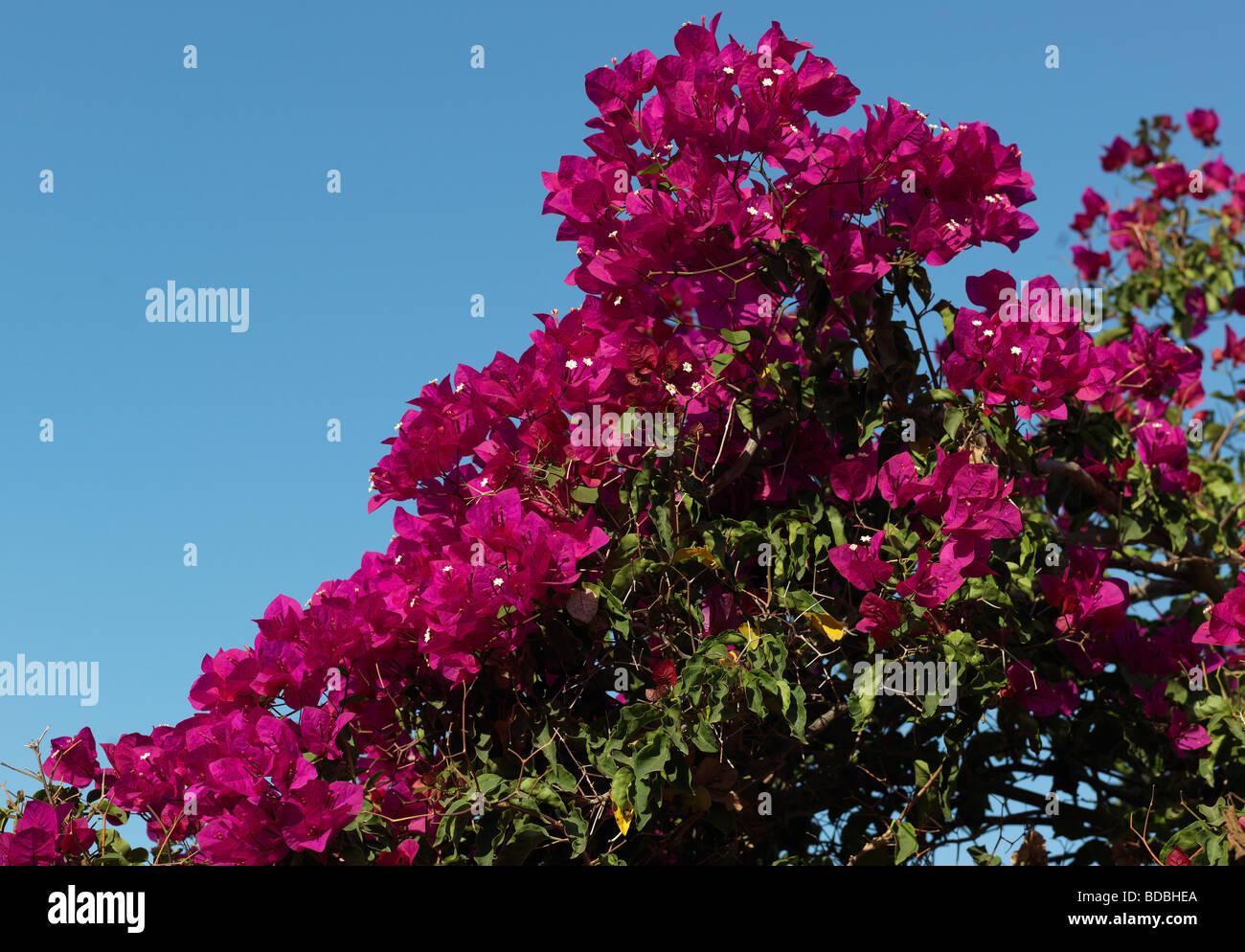 Blossom Bougainville, Bouganvilia pictured in Conil de la Frontera Andalusia Spain August 14 2009 . - Stock Image