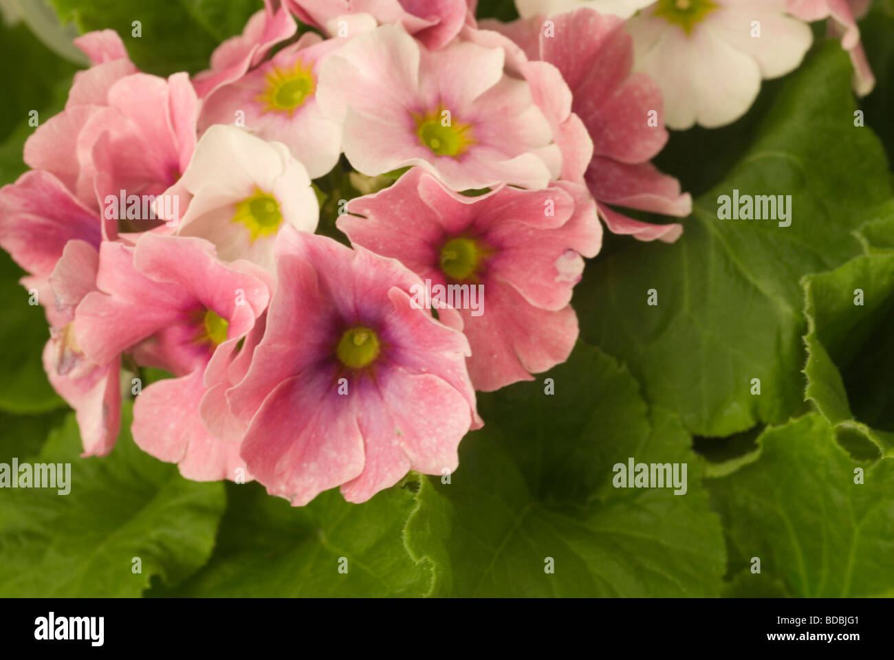 Flowers of Primula obconica 'Twilly Serie', Primulaceae - Stock Image