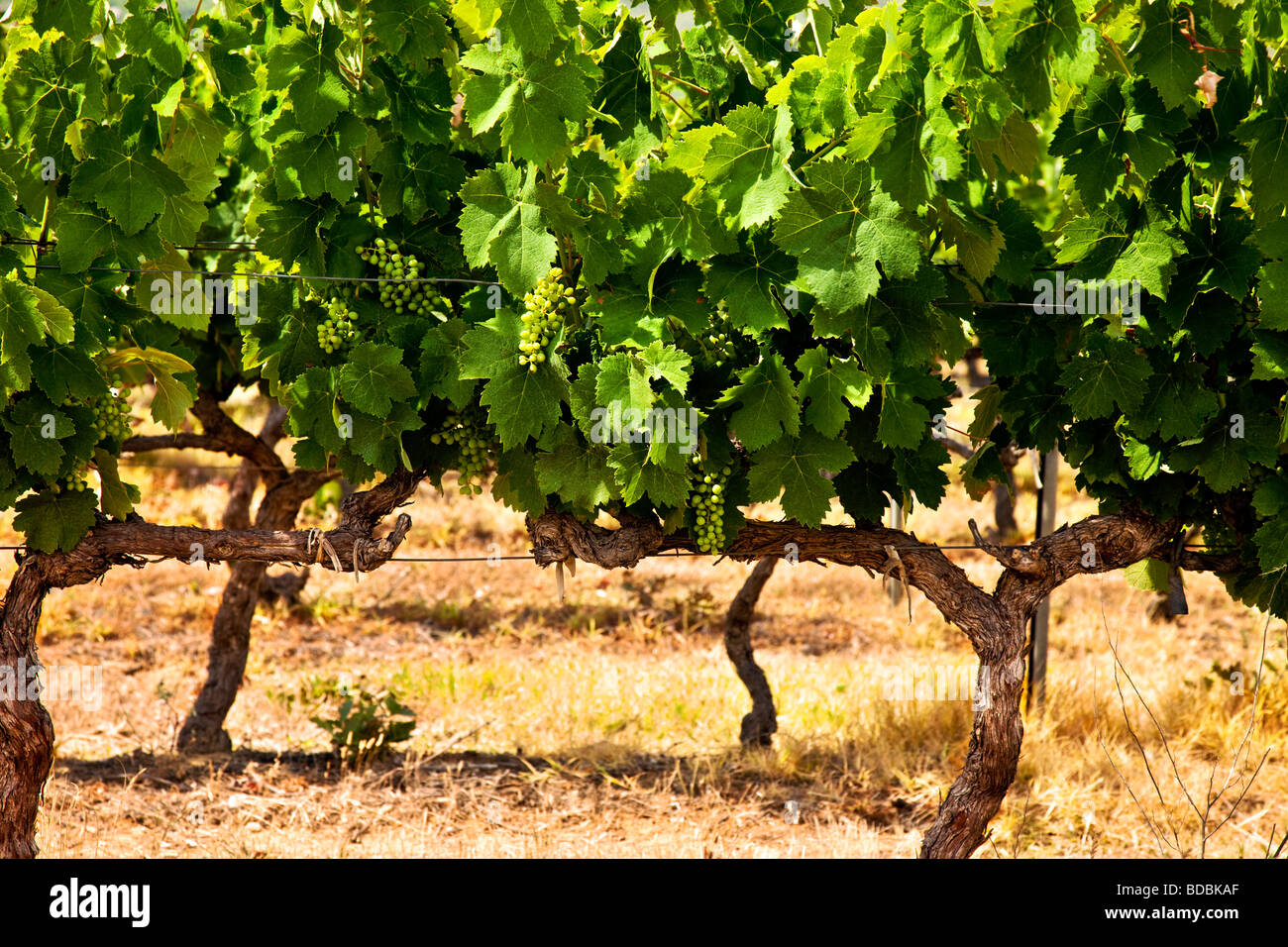 Grape clusters on vines near Gordes Provence France - Stock Image