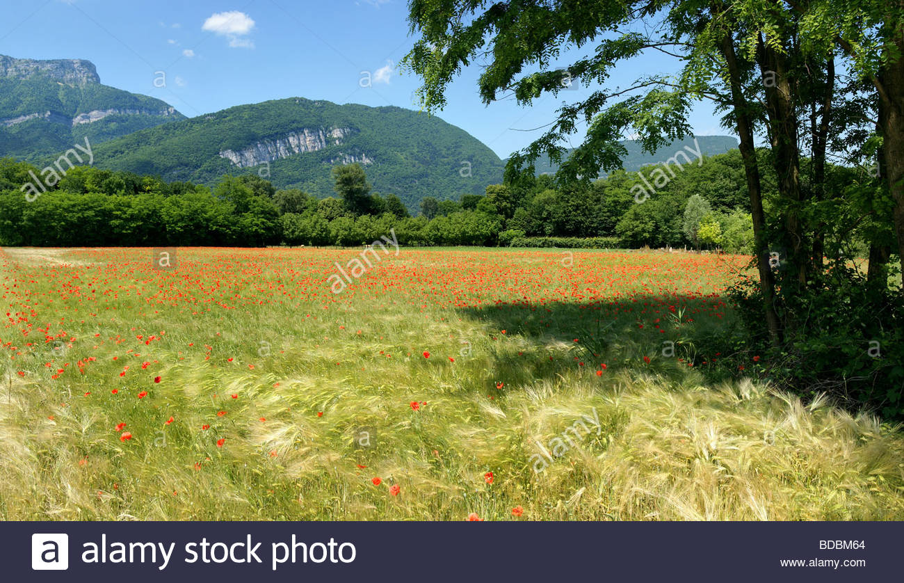 wheat field strewn with poppies in Voreppe near Grenoble - Isère - France | champ de blé parsemé - Stock Image