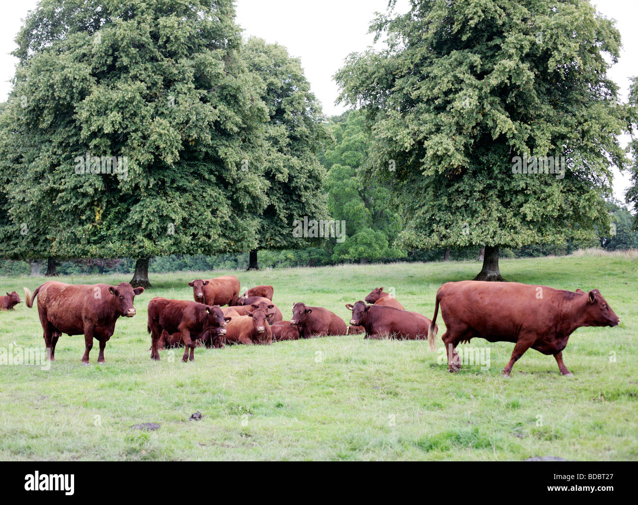 Red Devon Cattle at Forde Abbey, Somerset UK. - Stock Image