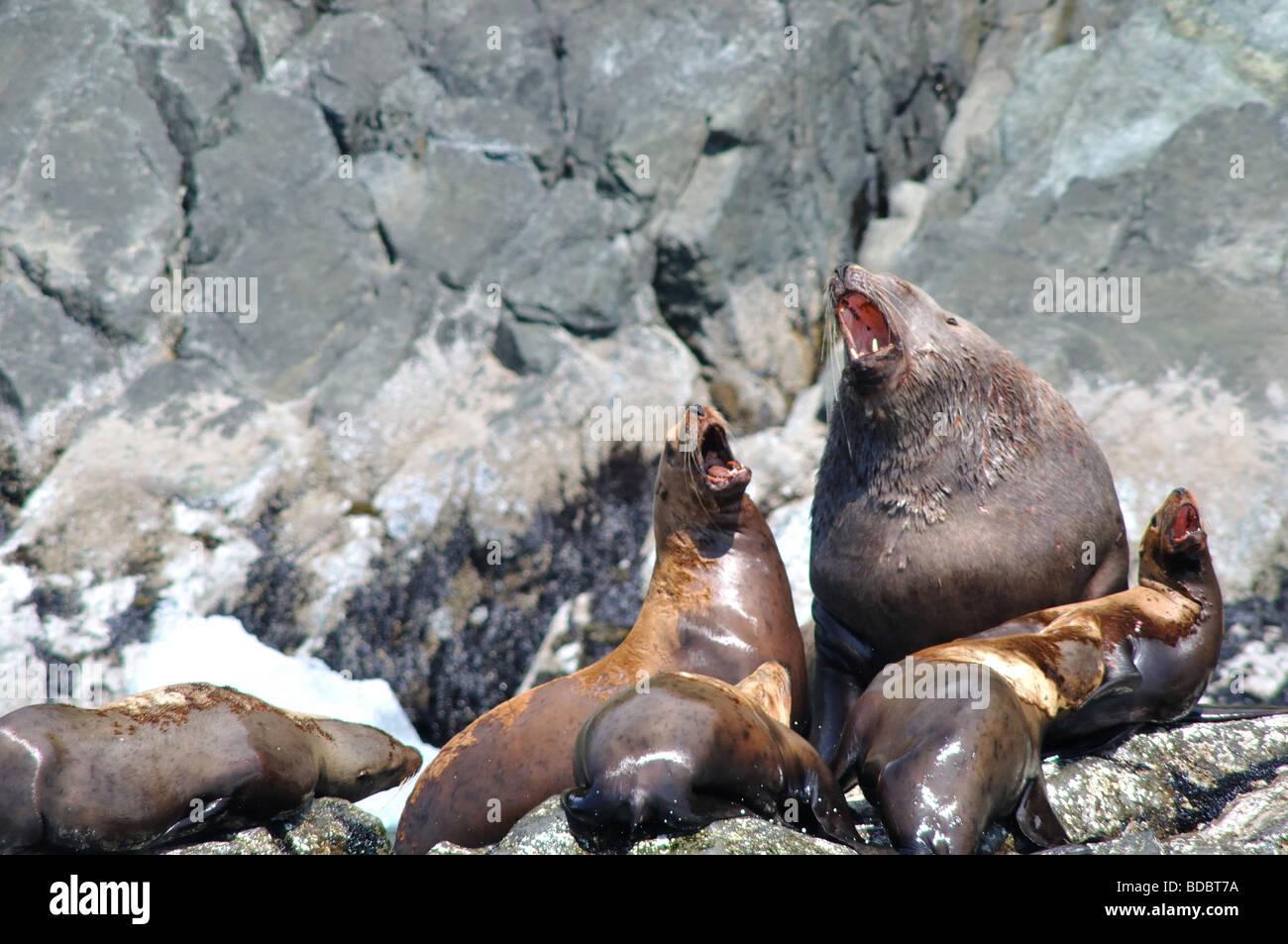 Stellar Sea Lions in the Prince William Sound Alaska Stock Photo