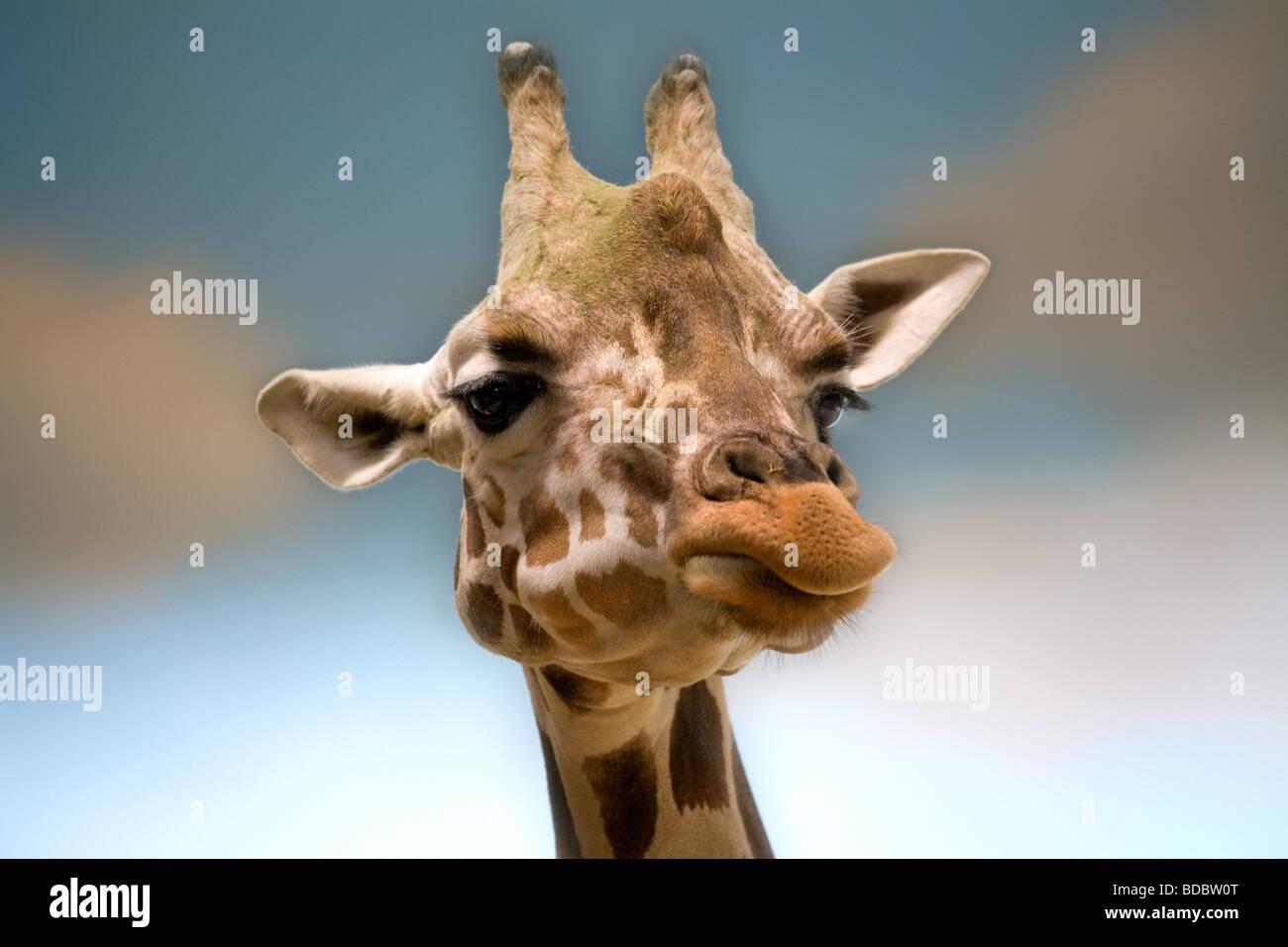 Giraffe head shot close up in the Bronx Zoo NY USA - Stock Image