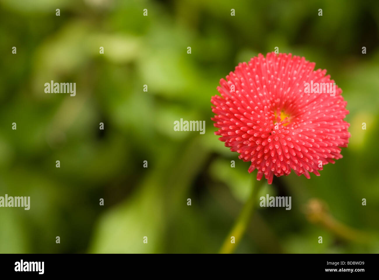 Bellis perennis, Asteraceae - Stock Image