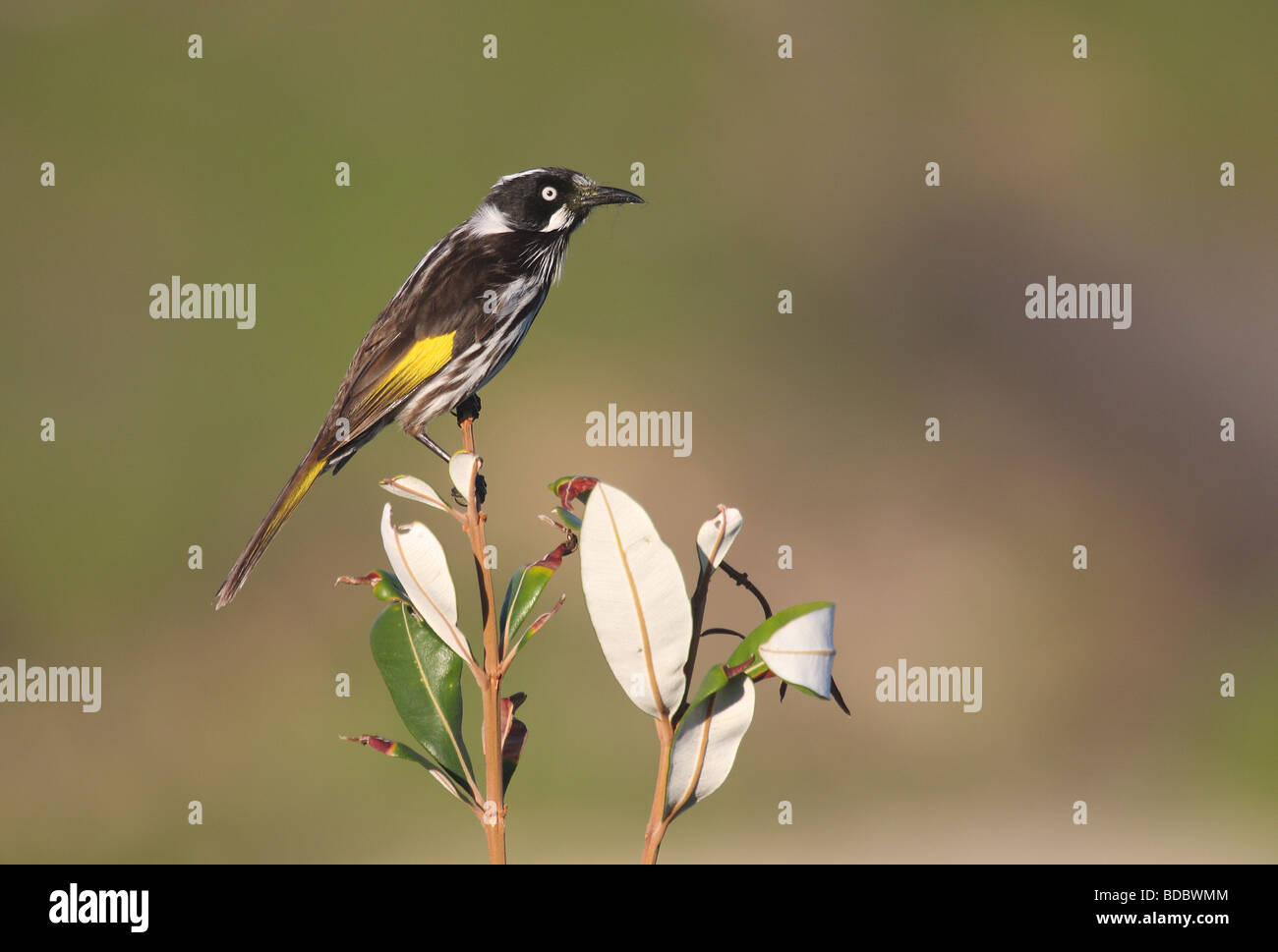 New Holland Honeyeater perched - Stock Image