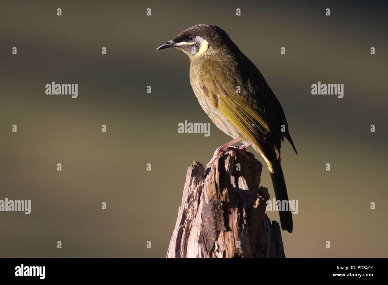 Lewin's honeyeater - Stock Image