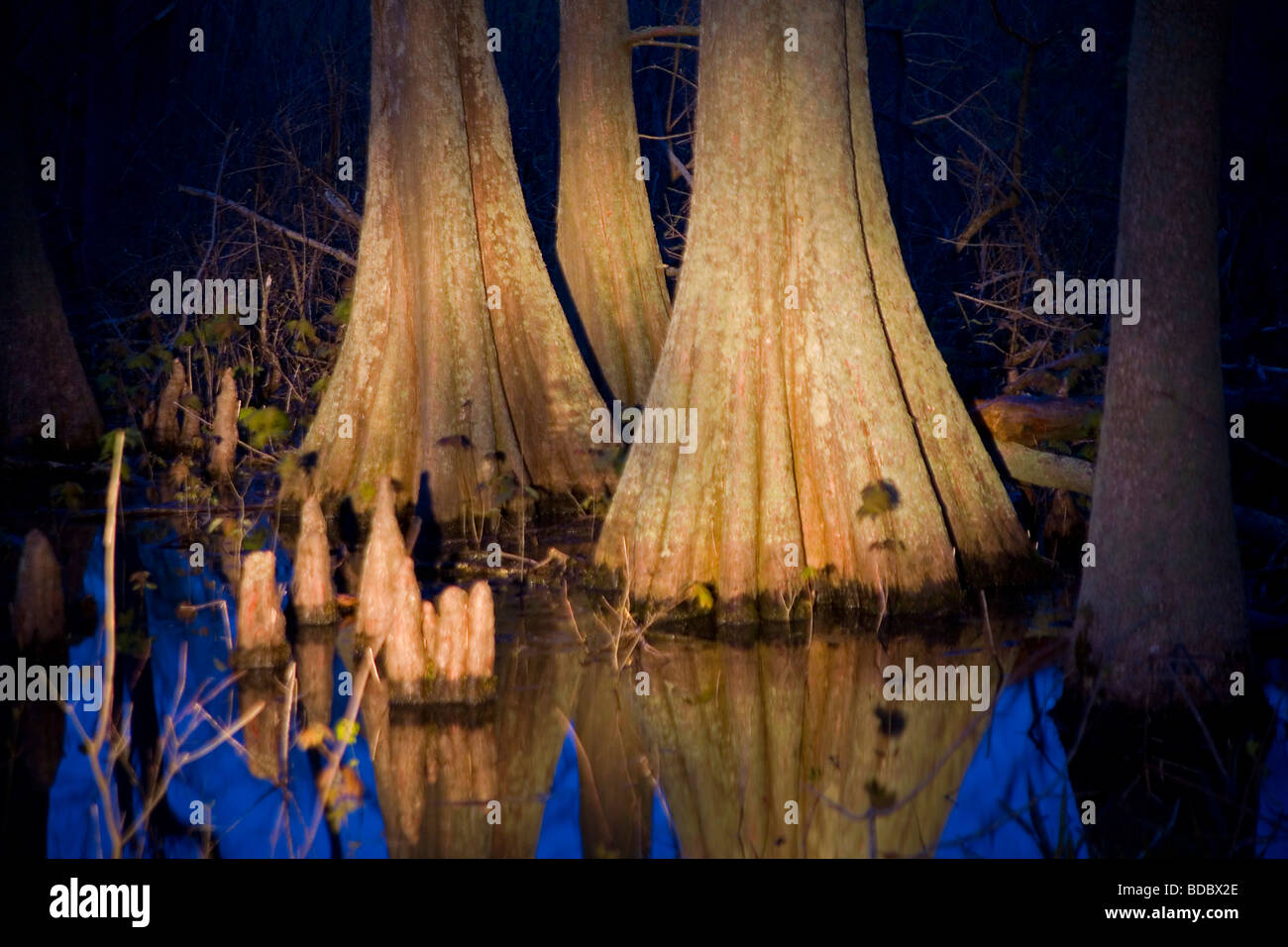 Otter Slough Conservation Area Cypress Trees - Stock Image