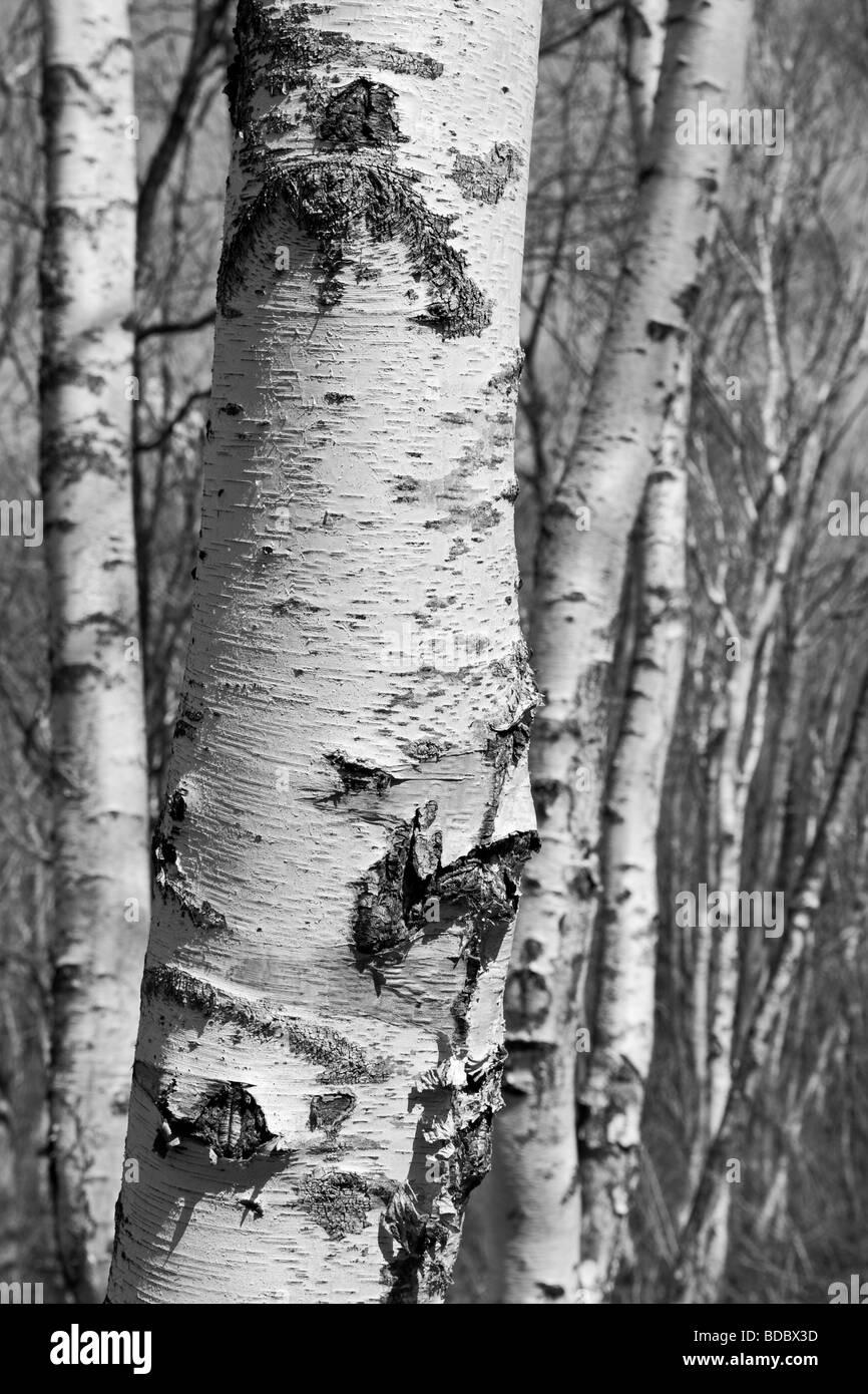 Japanese White Birch, Betula platyphylla, Togakushi forest, Japan - Stock Image