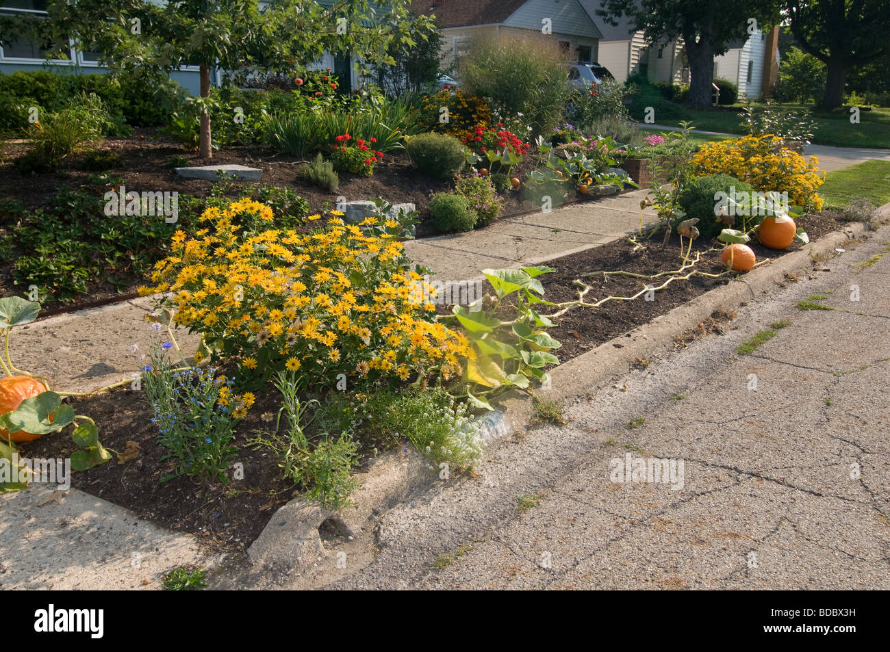 Pumpkins growing in front yard of home  usa - Stock Image