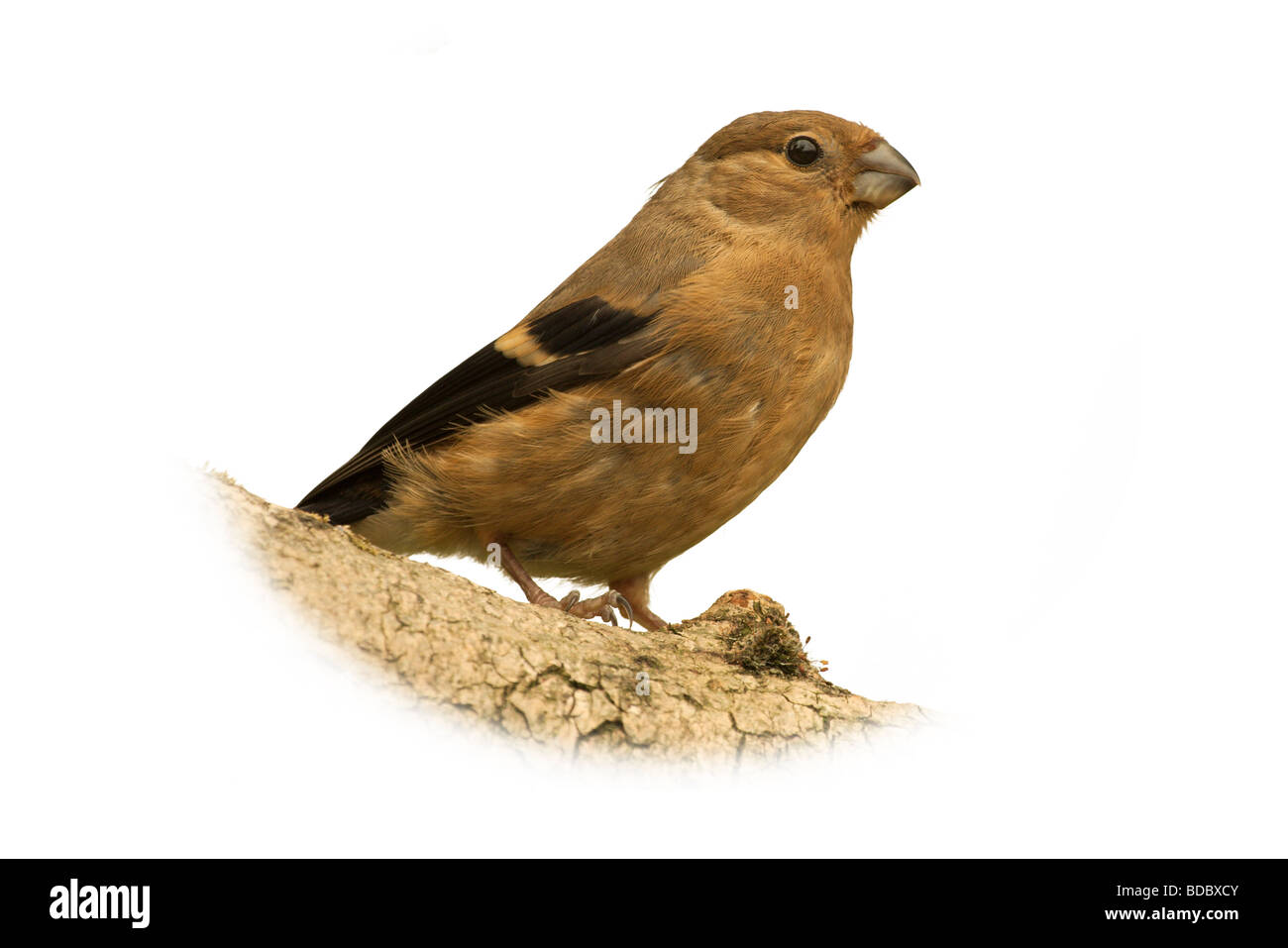 a juvenile bullfinch isolated against a white background - Stock Image