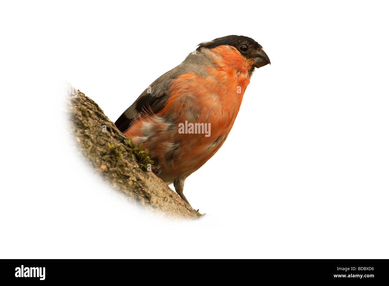 an adult male bullfinch isolated against a white background - Stock Image