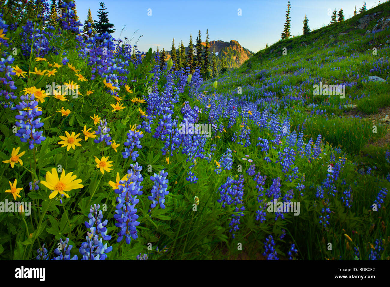 Lupines and sunflowers along Naches Peak trail in Mount Rainier National Park - Stock Image