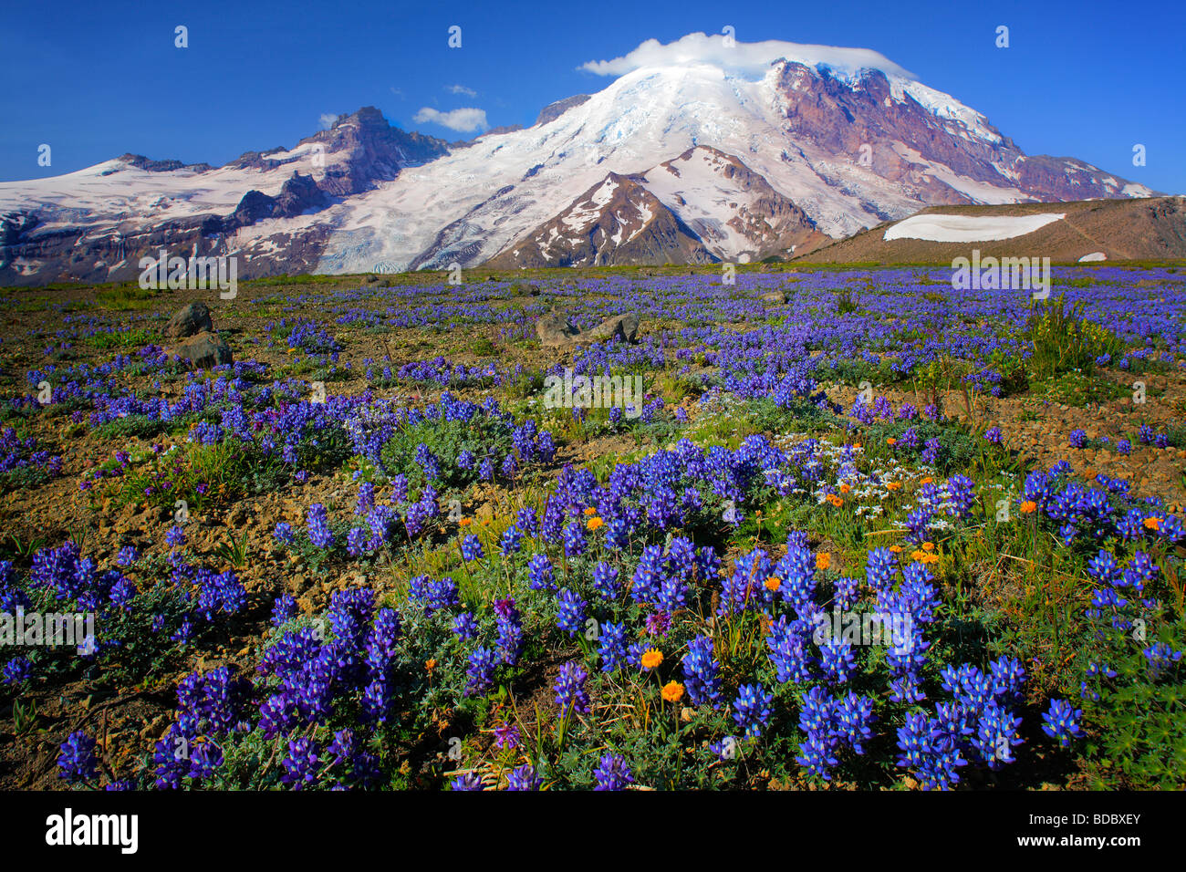 Carpet of lupines on 1st Burroughs Mountain in Mount Rainier National Park in Western Washington, USA - Stock Image