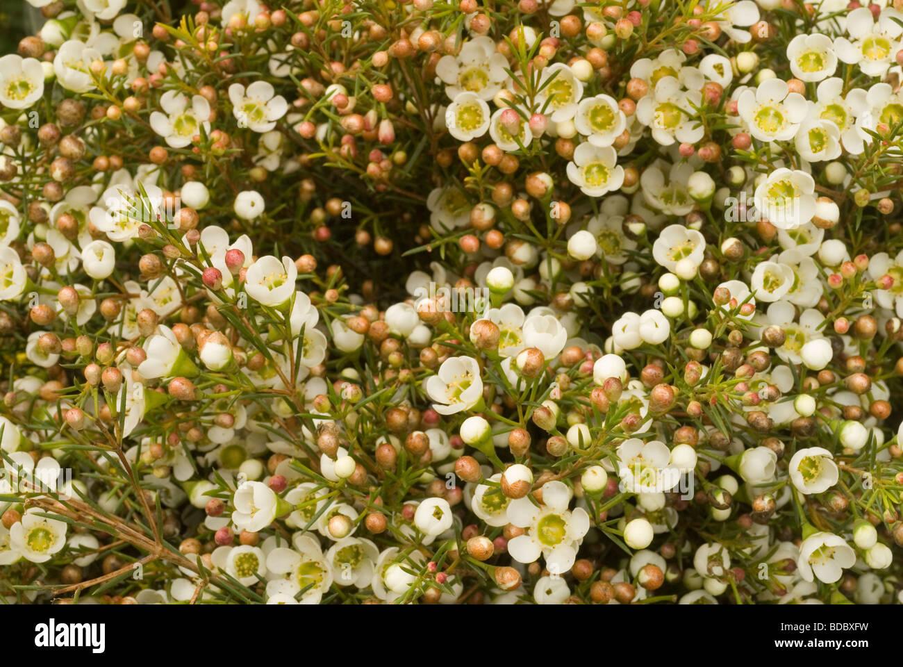 Flowers of Chamelaucium uncinatum, Ofir, Myrtaceae - Stock Image
