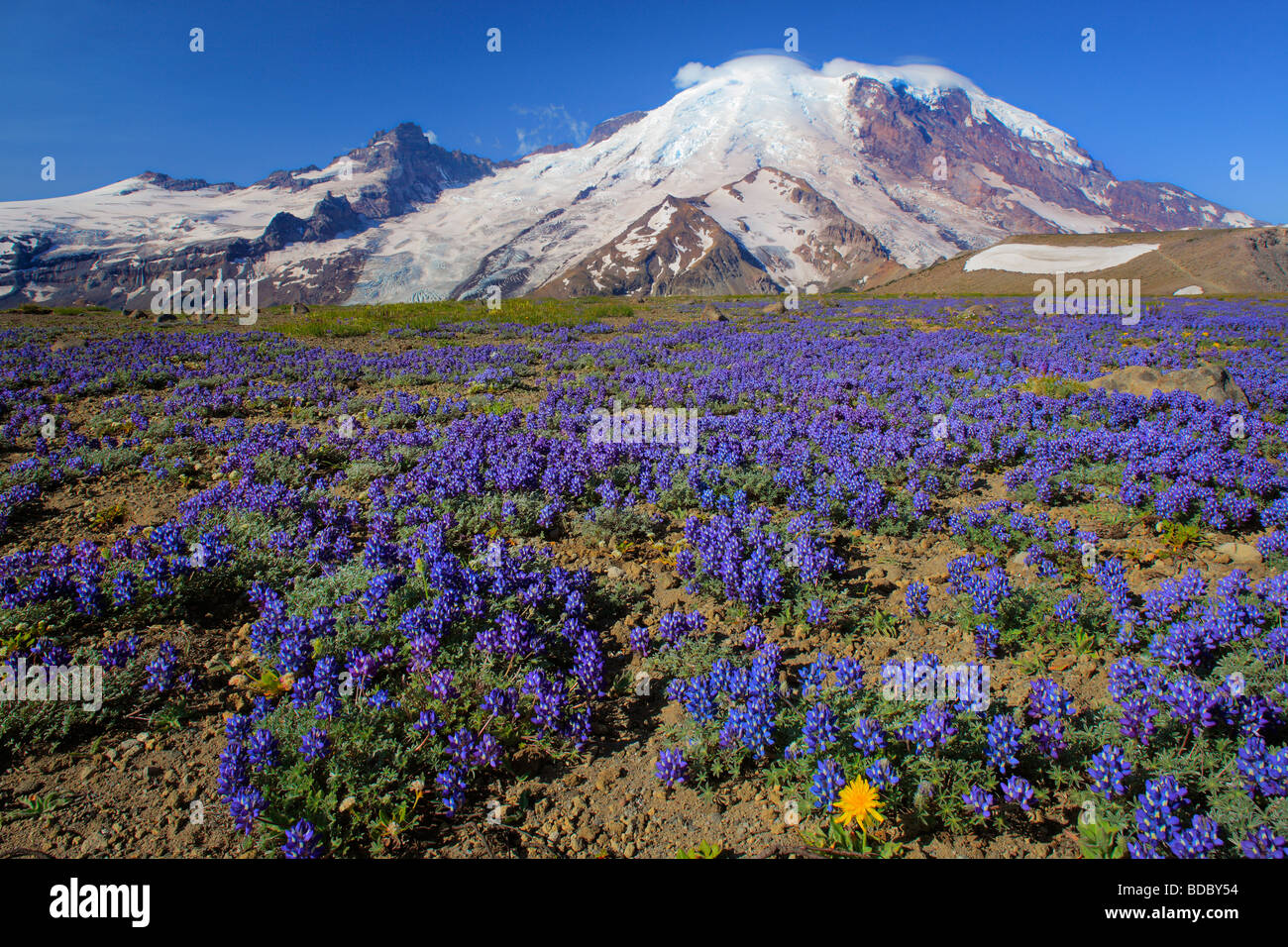 Carpet of lupines on 1st Burrough Mountain in Mount Rainier National Park in Western Washington, USA - Stock Image