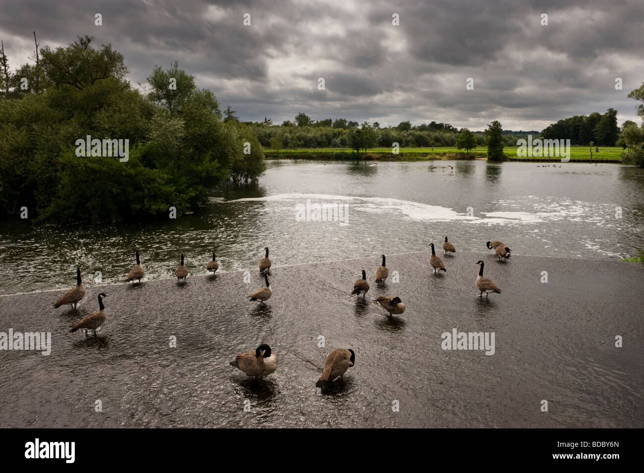 Canada geese at Hambleden weir Hambleden Buckinghamshire UK on the River Thames - Stock Image