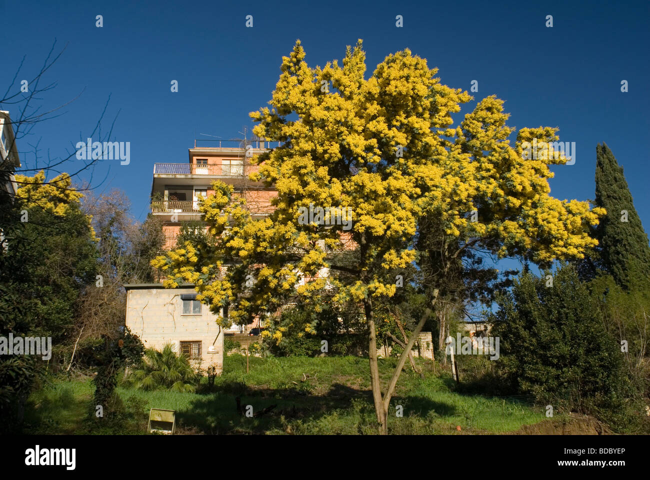 Acacia Dealbata Mimosa Leguminosae Stock Photo 25463950 Alamy