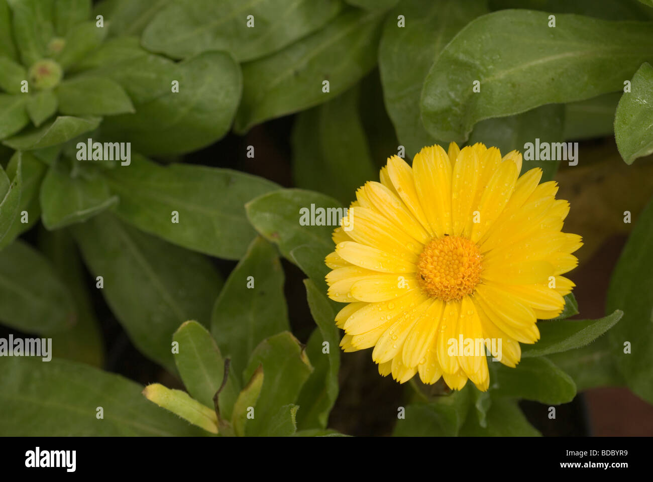 Flower of Calendula officinalis, Asteraceae - Stock Image